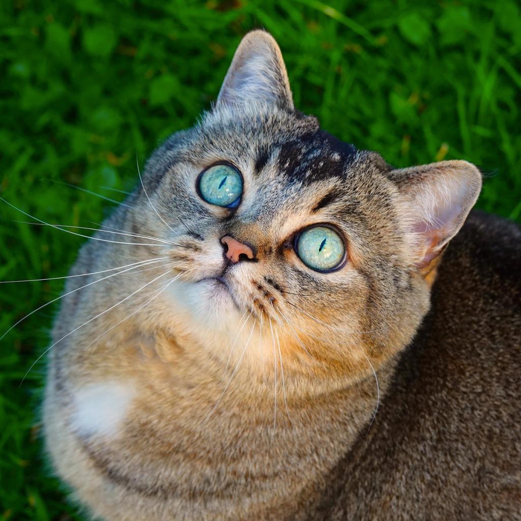 они направляются бирюзовый цвет глаз у кошек фото сколько