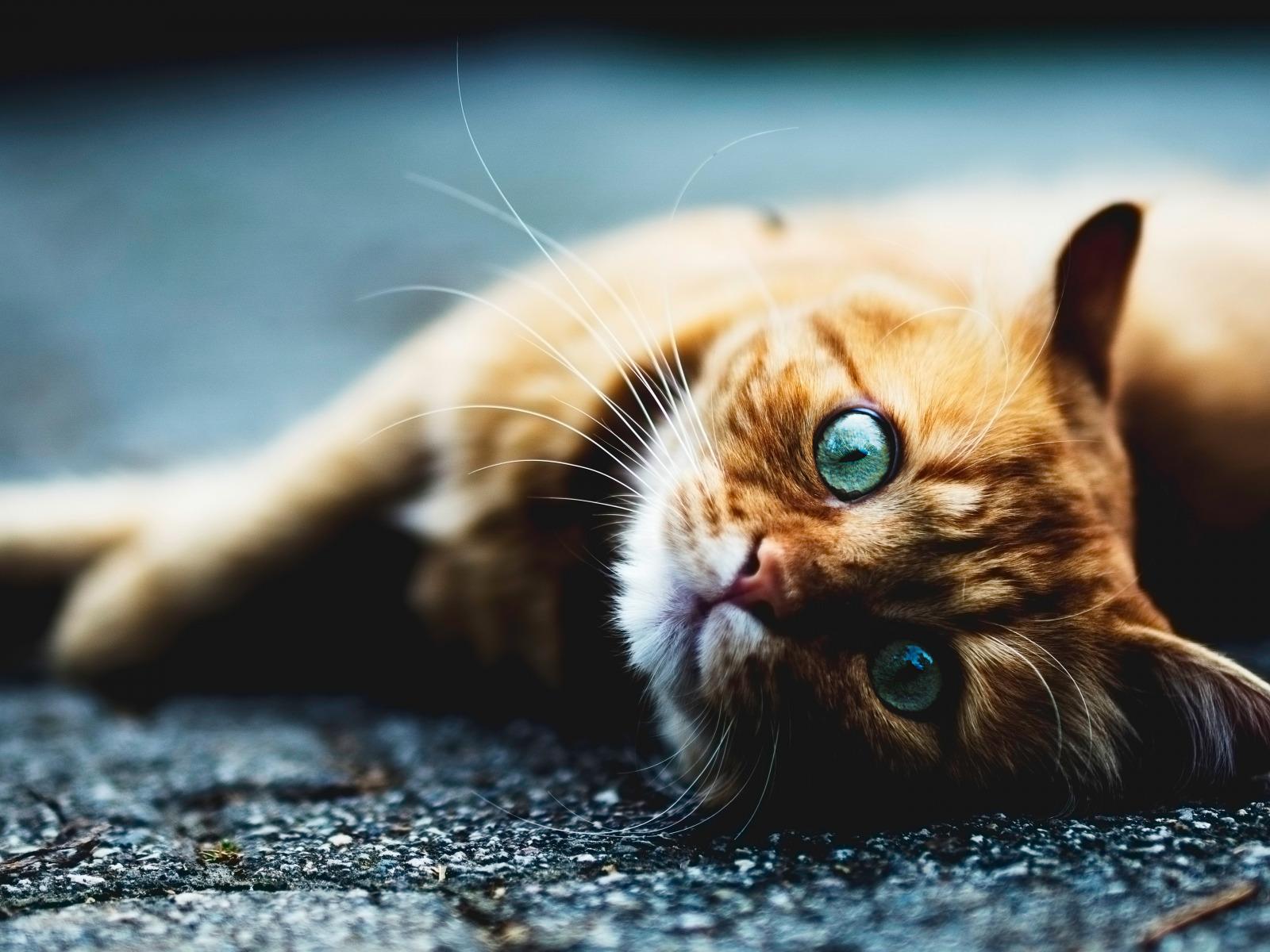 Обои котёнок, голубые глазки, мордочка. Кошки foto 14