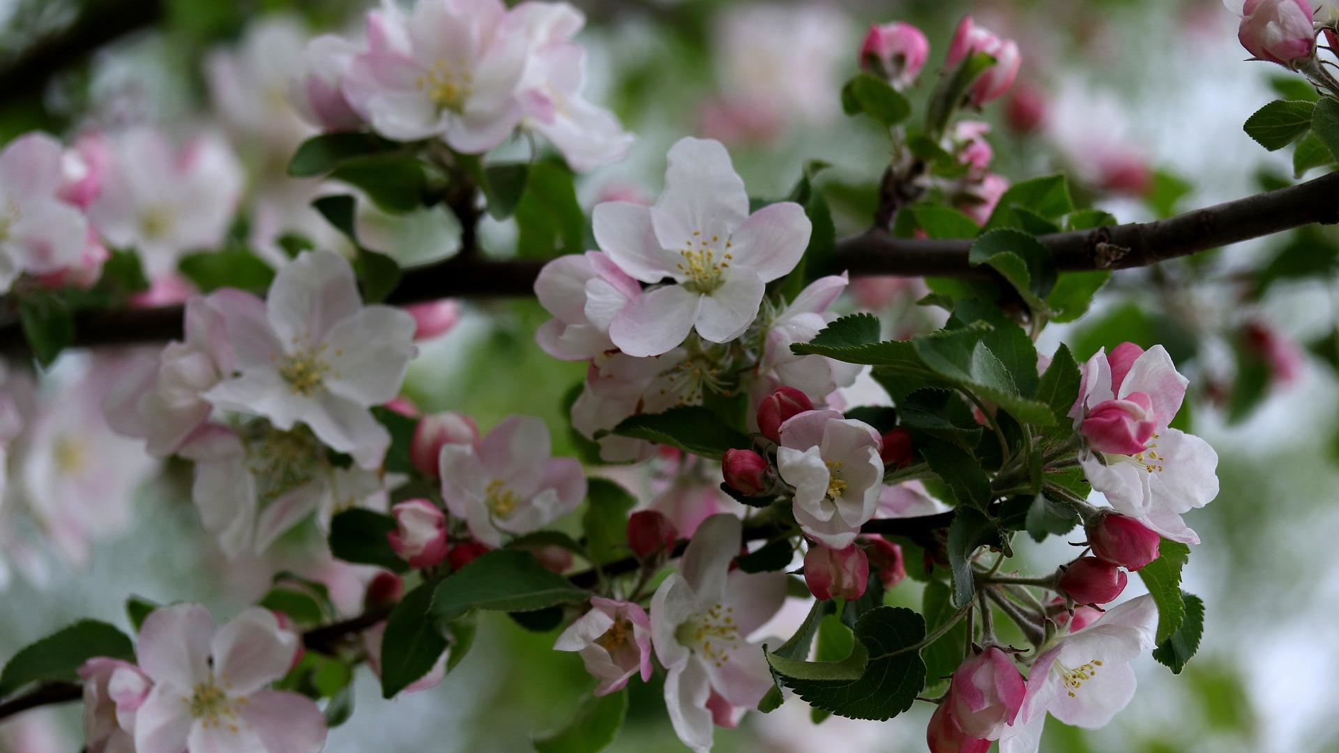 картинка яблоня первые цветы