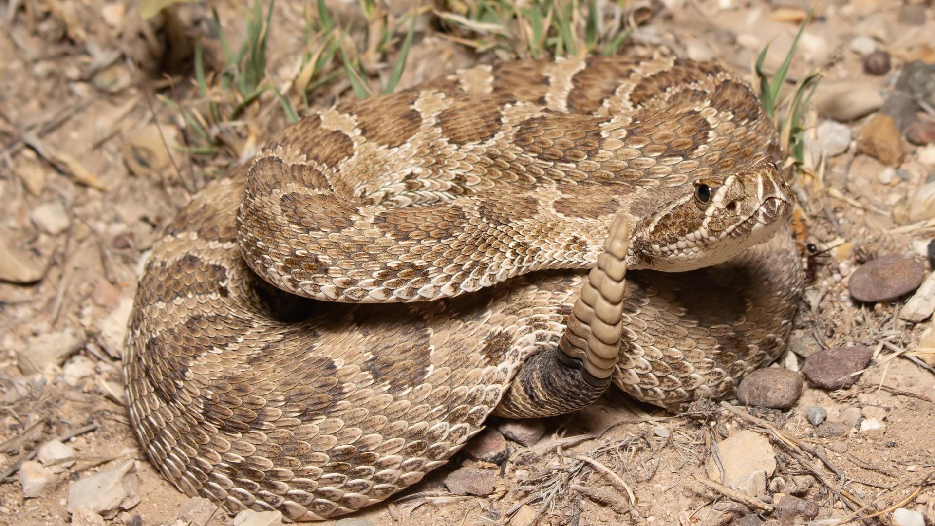 картинки на обои гремучей змеи тату действительно романтичные