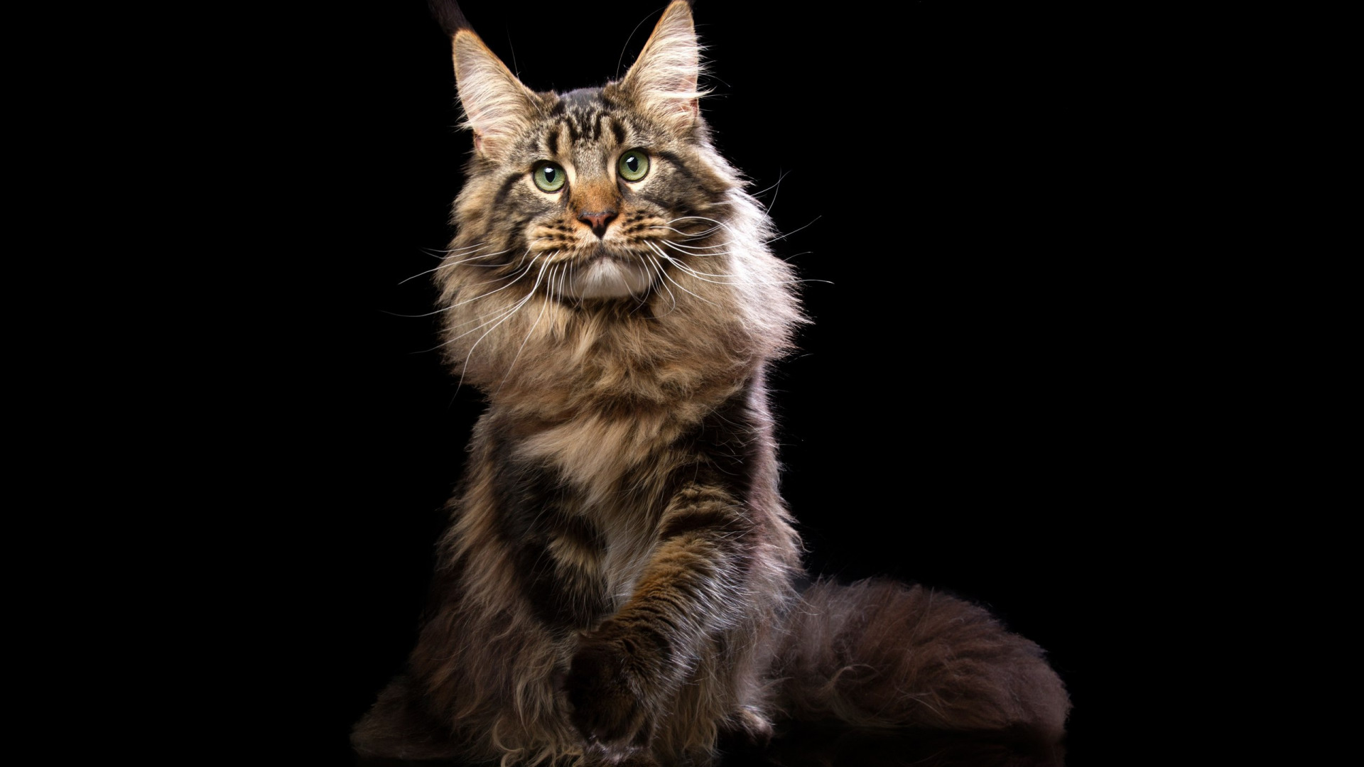 поздравления с кошками мейн-кун всем