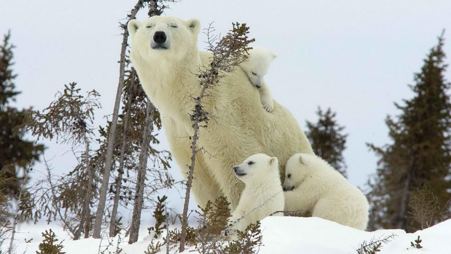 Картинка с белым медведем и медвежонком