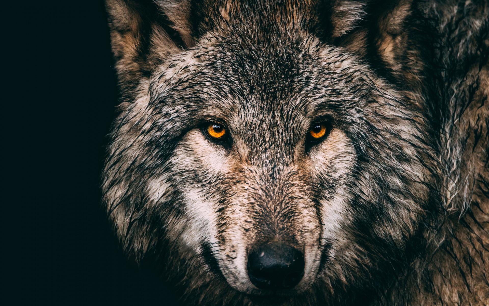 Картинки с волками на рабочий стол с черным фоном