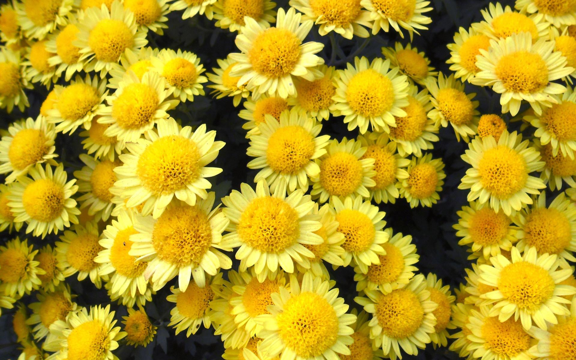 обои на телефон хризантемы желтые фортуна