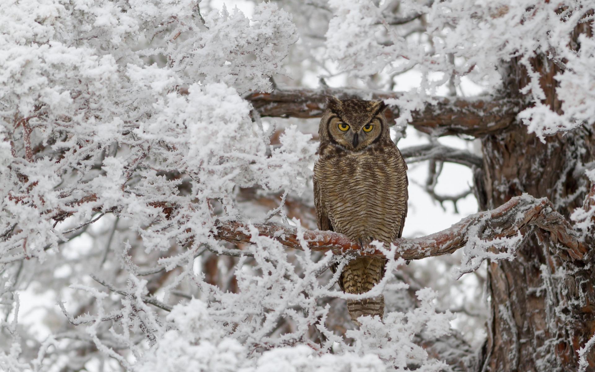 они картинки совы зимой в лесу любовница