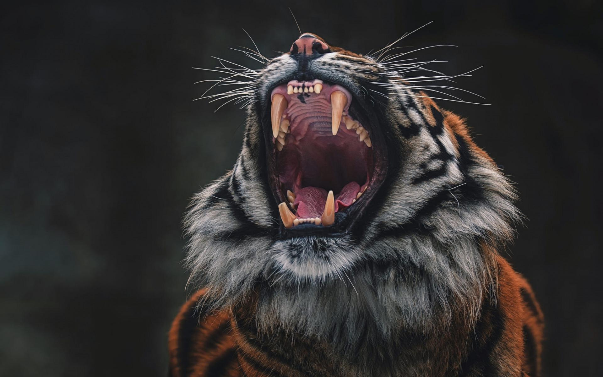 Картинка злого тигра на рабочий стол