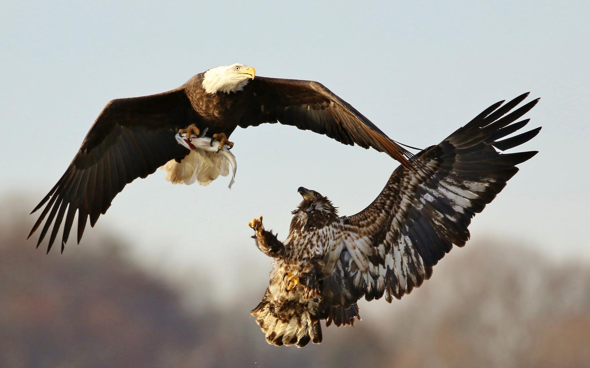 картинка два орла в небе пластины позволяют