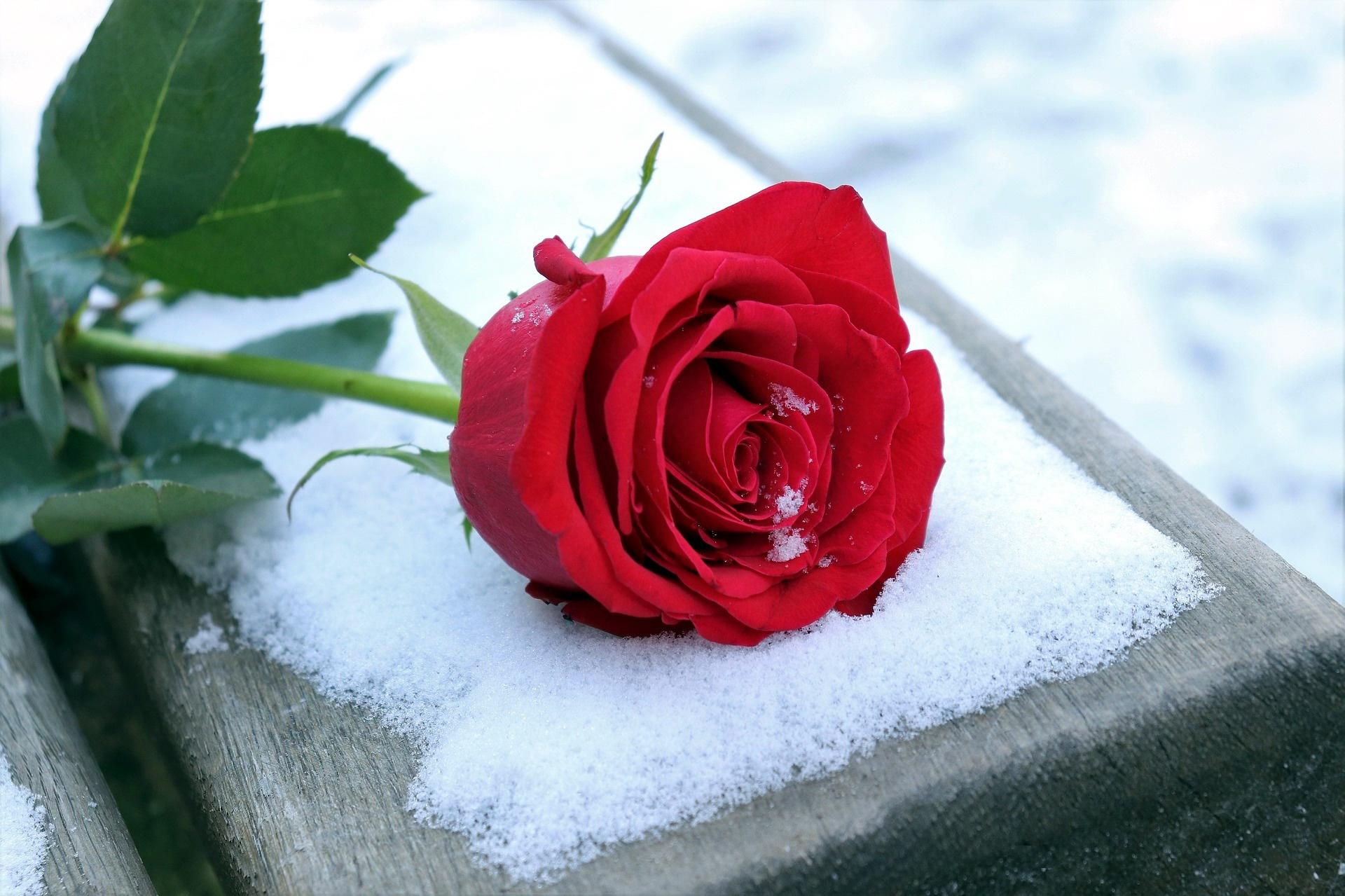 Открытка розы на снегу со словами