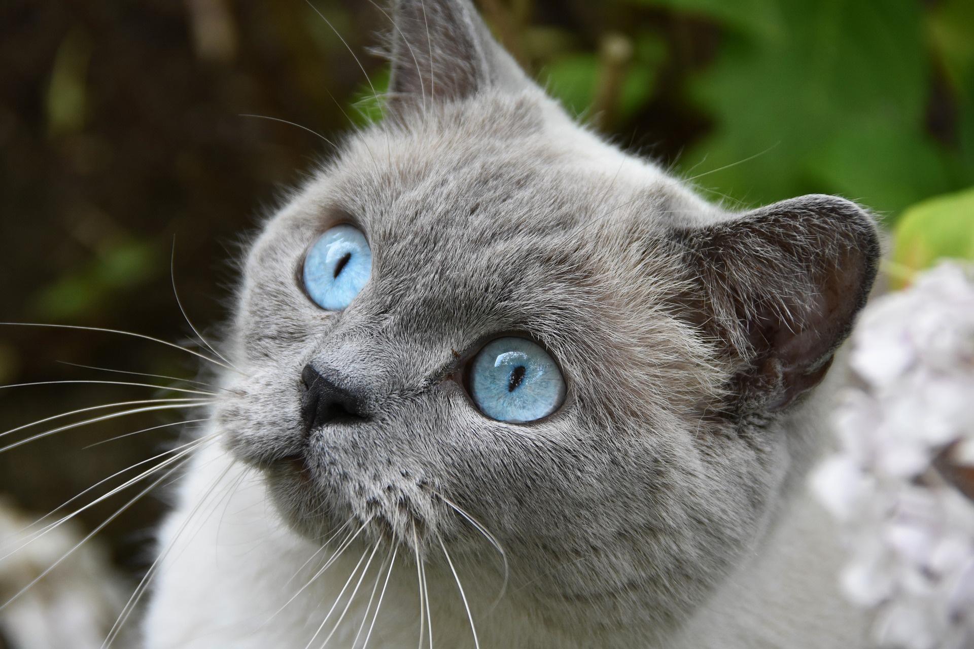 случается время порода голубоглазых кошек фото ноги руки