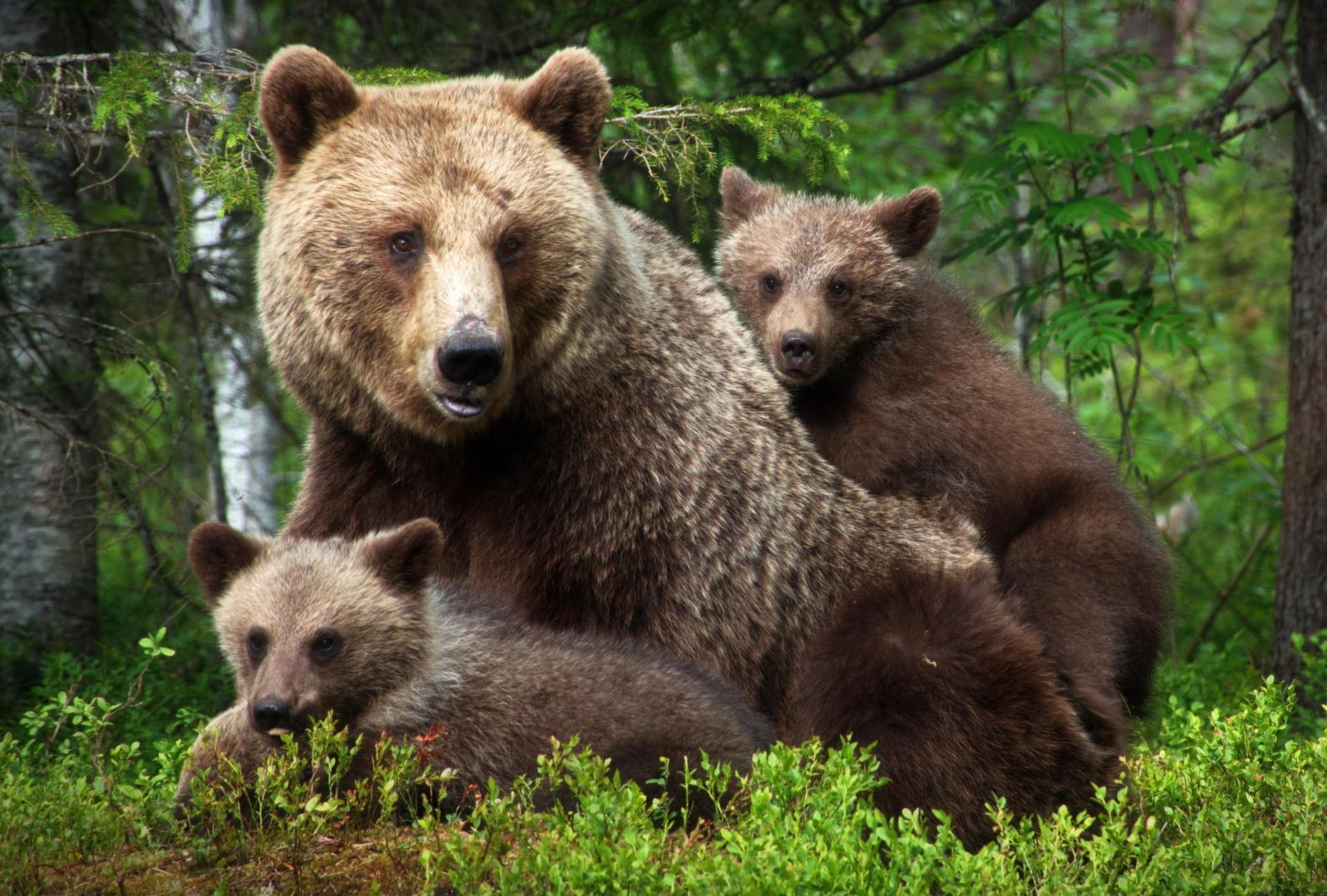 Медвежата в картинках, надписей