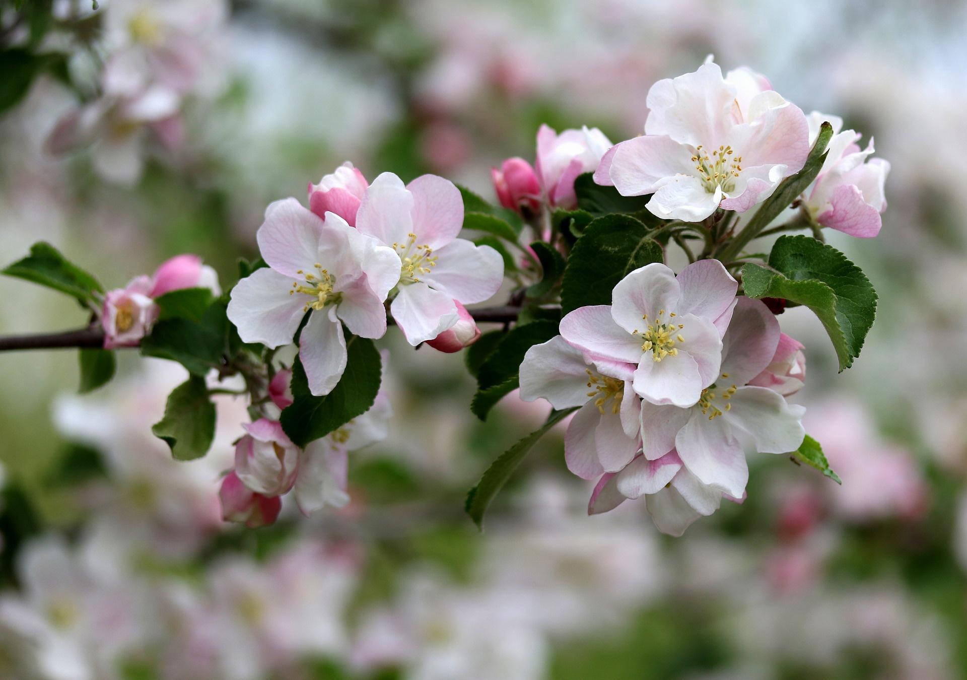 Днем, цветущая яблоня картинки большой размер