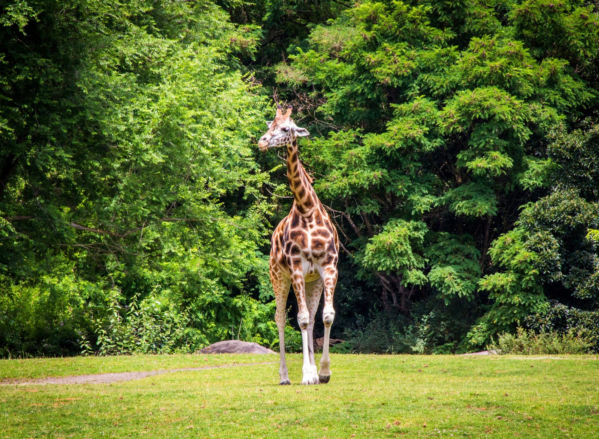 Жираф на дереве картинки для продукт можно
