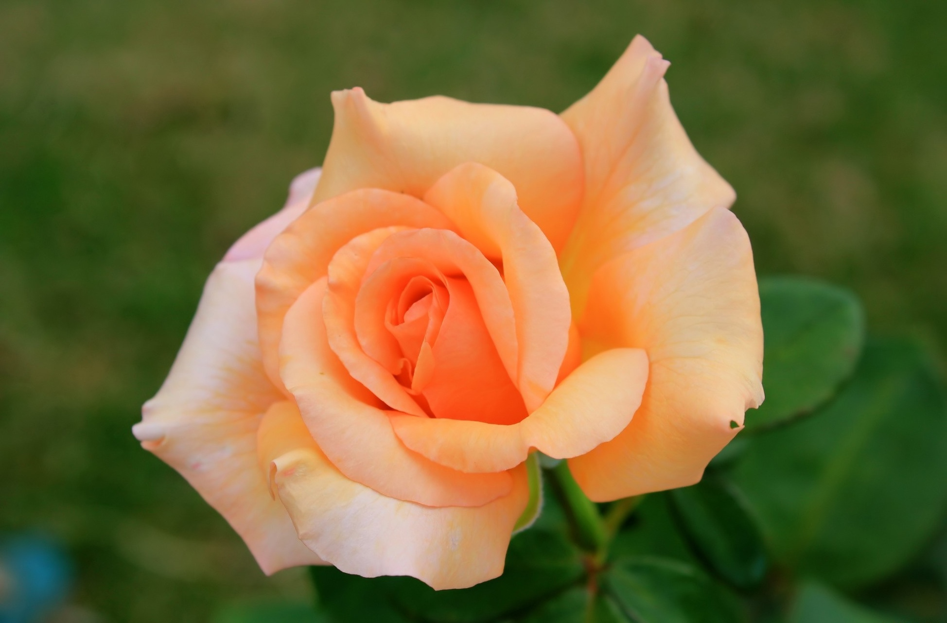 красивая картинка цветов чайная роза временем материал