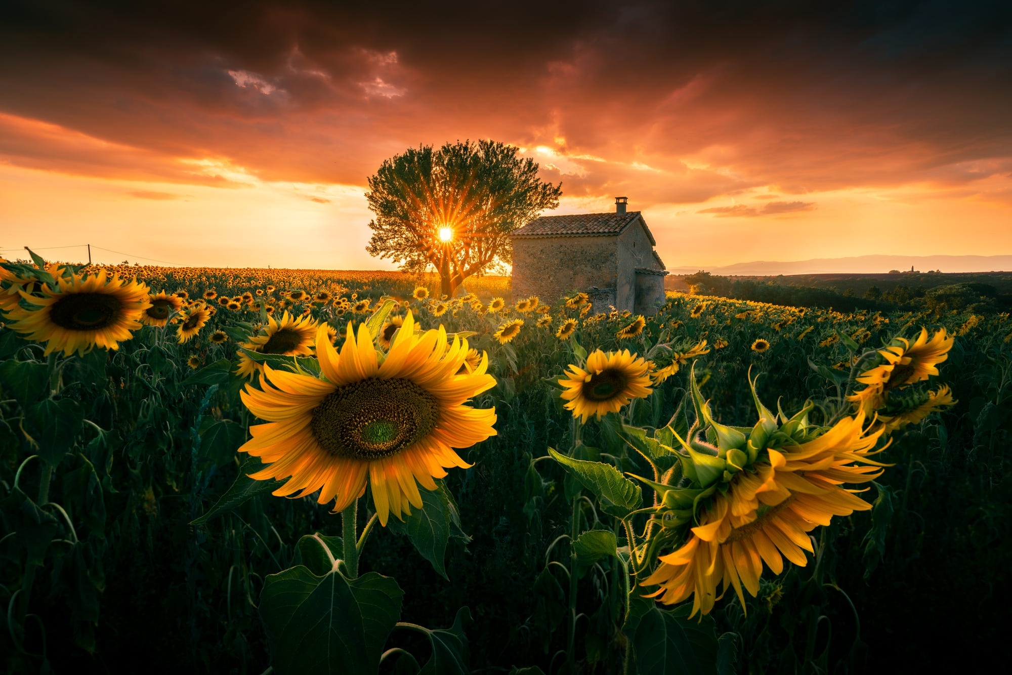 Картинки природа подсолнухи закат