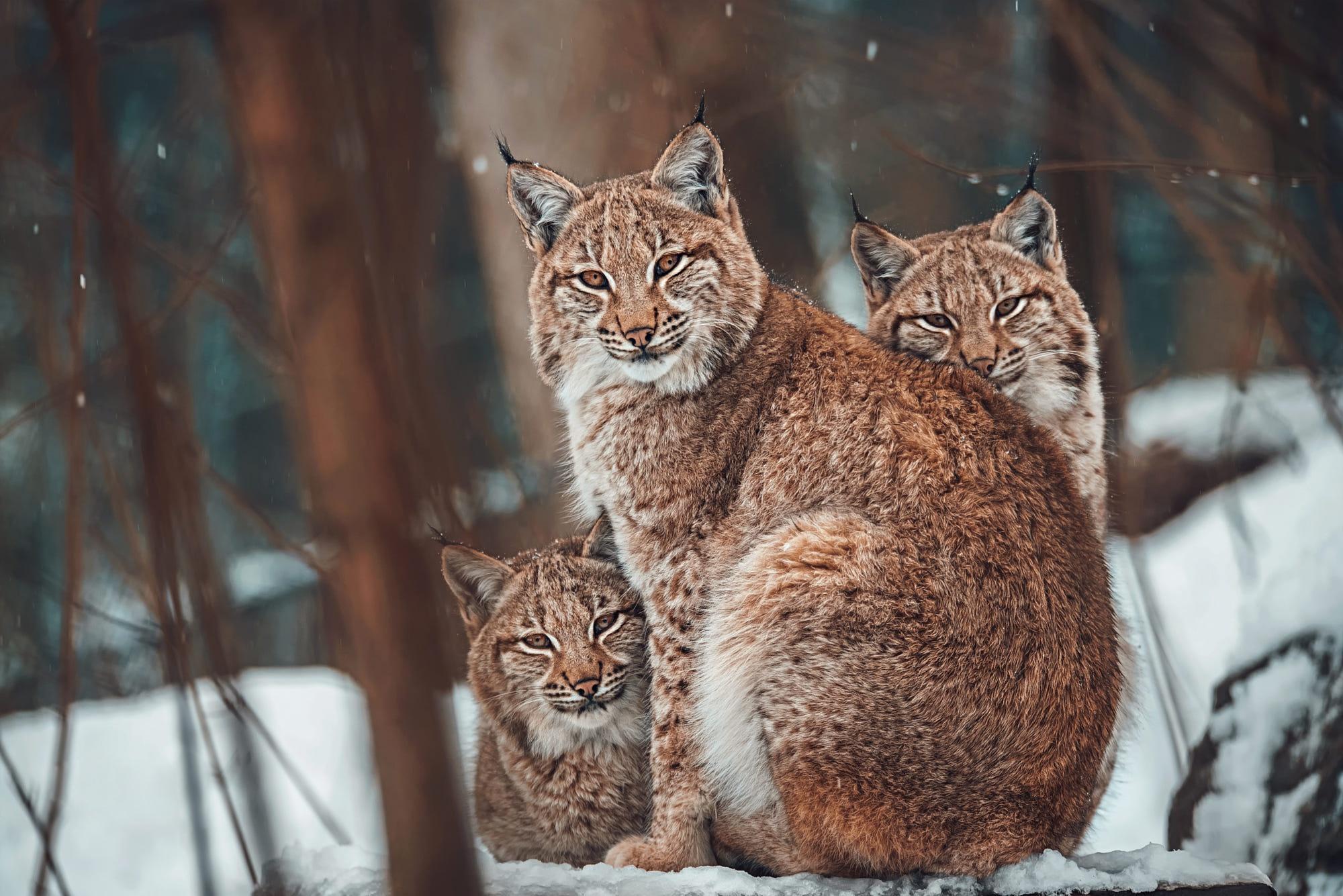 Картинки семья рысь