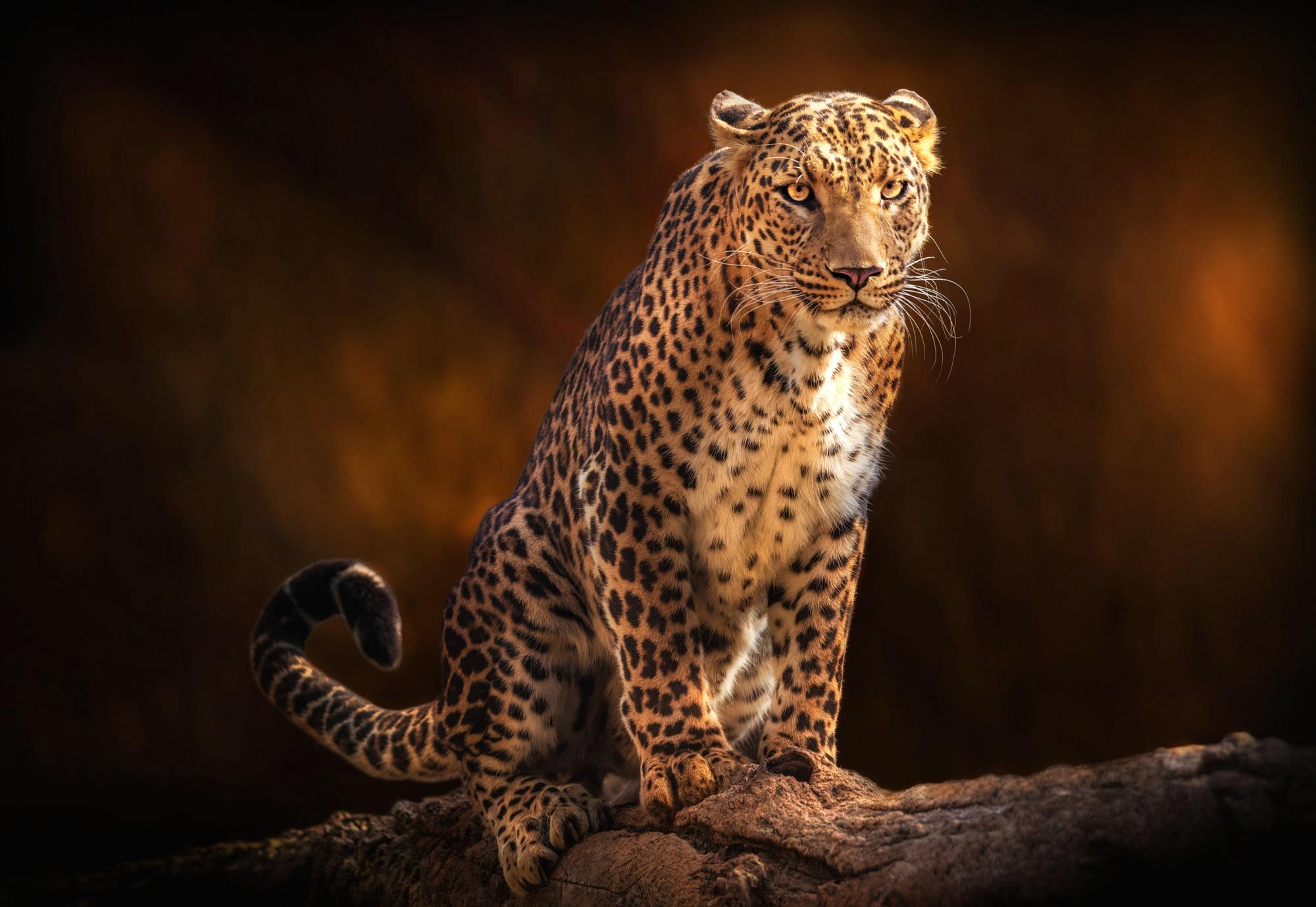 Леопард картинки животного