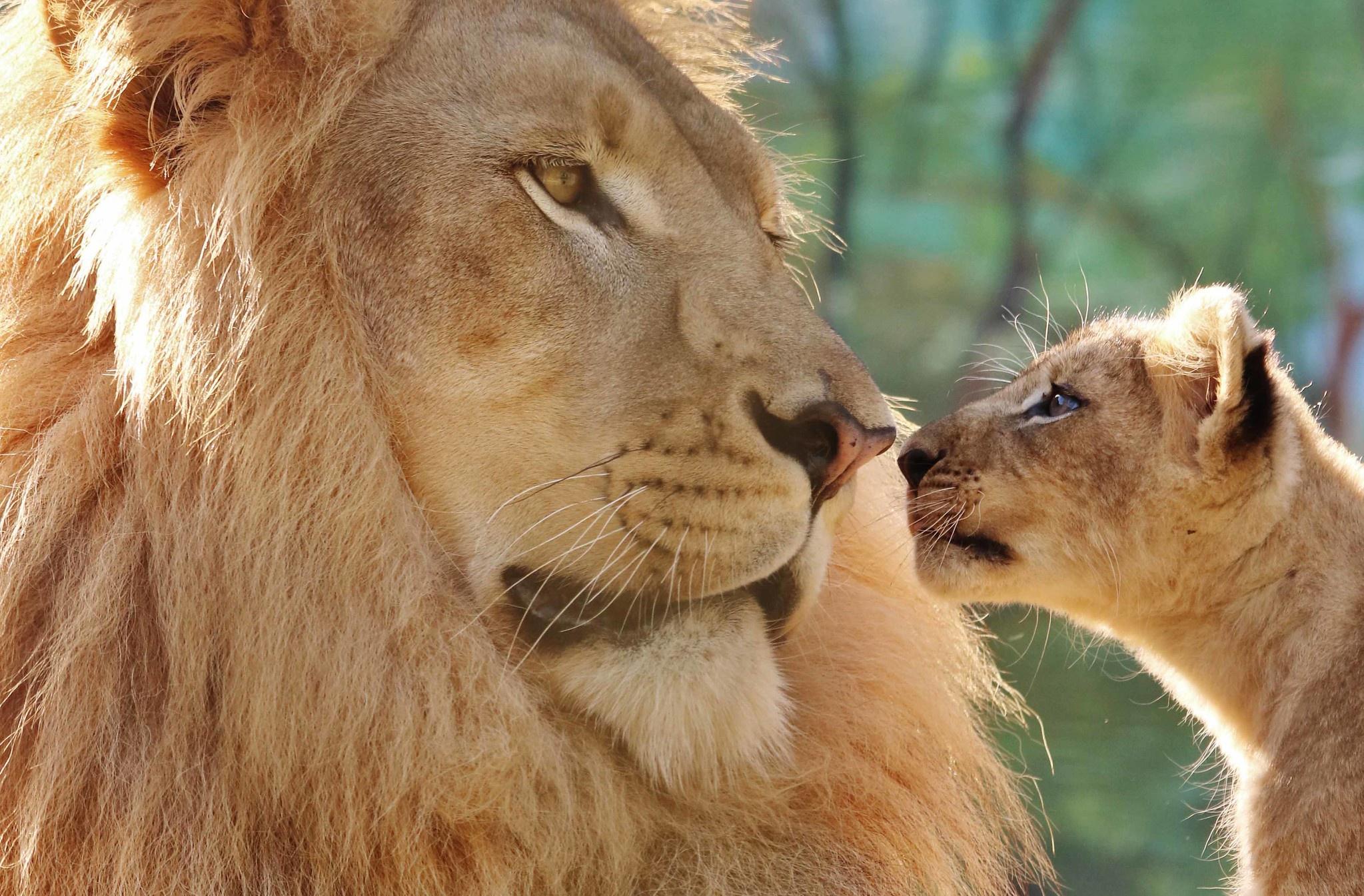 картинка львенок с папой его часть