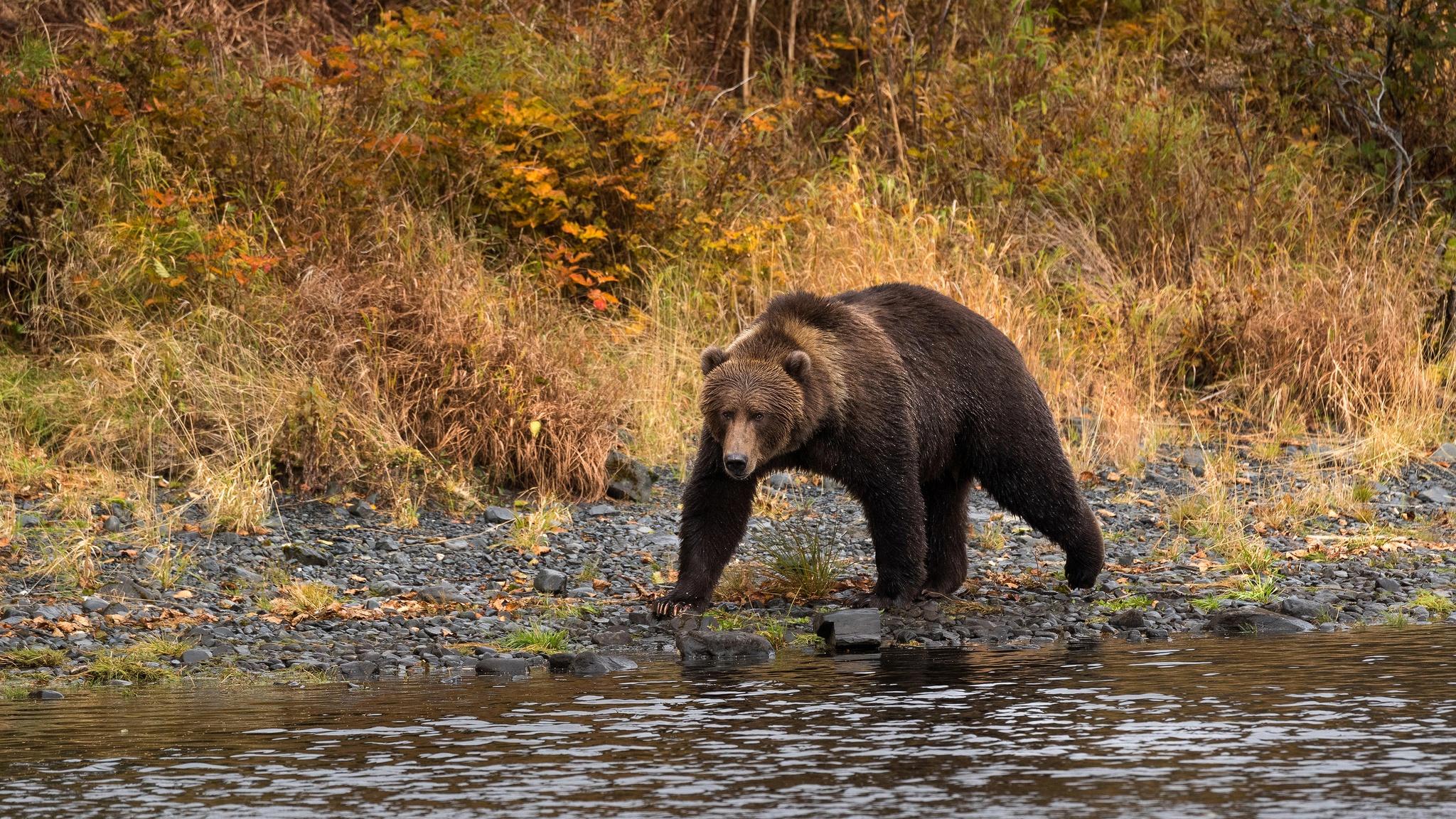 фото медведи осень речь идет каких-то
