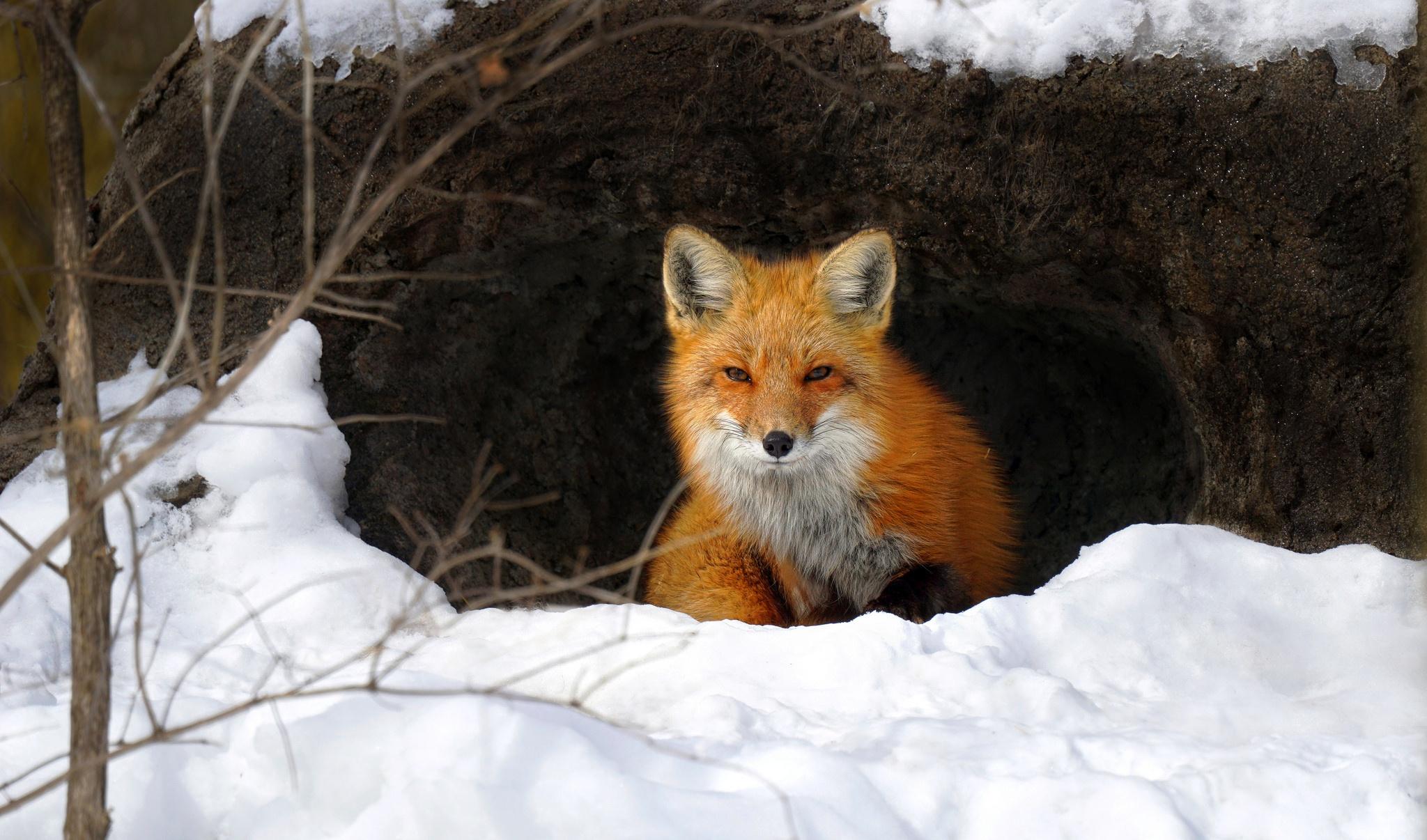 Сделай сам, картинки с изображением лисы около норы