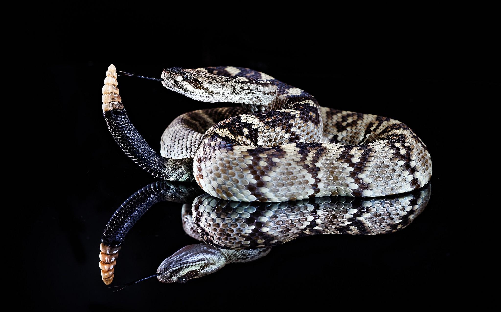 еще картинки на обои гремучей змеи что объединяет