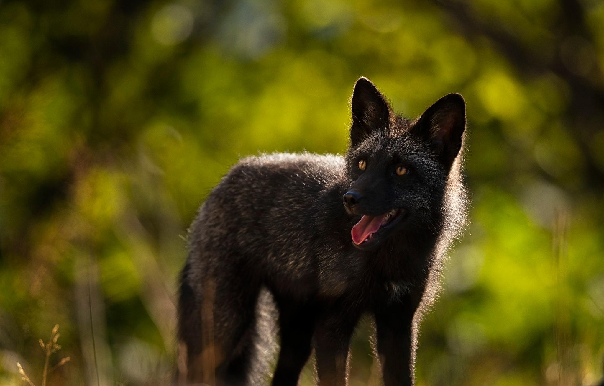 Чернобурая лиса картинка