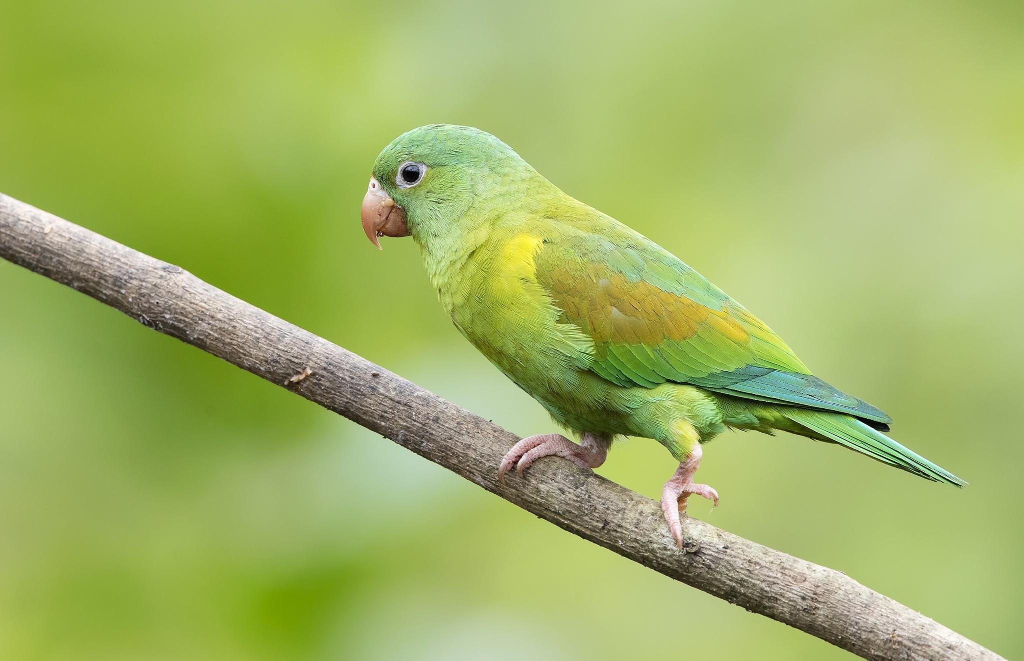 Картинка на рабочий стол зеленый попугай