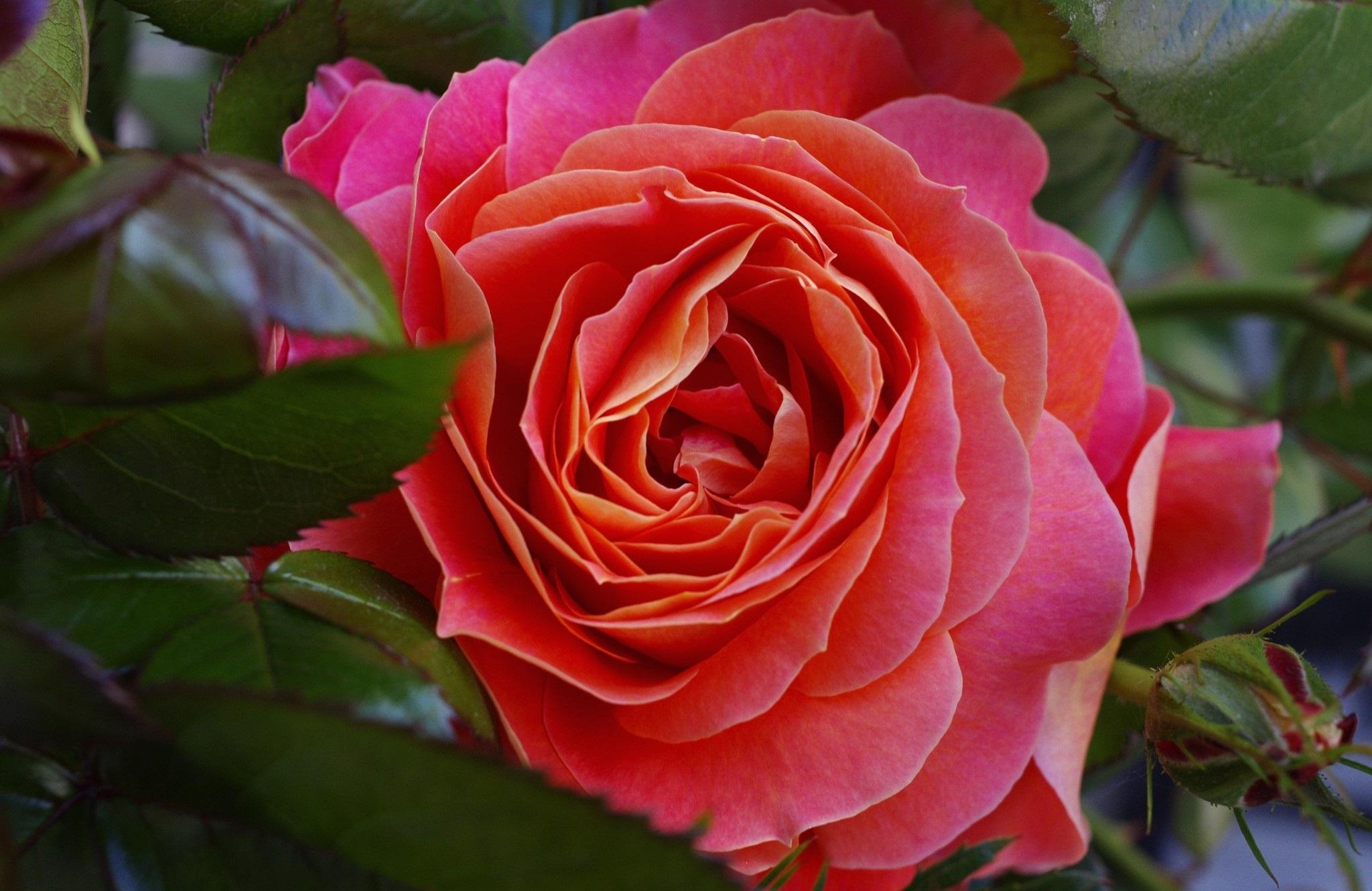фото розы крупным планом в хорошем качестве