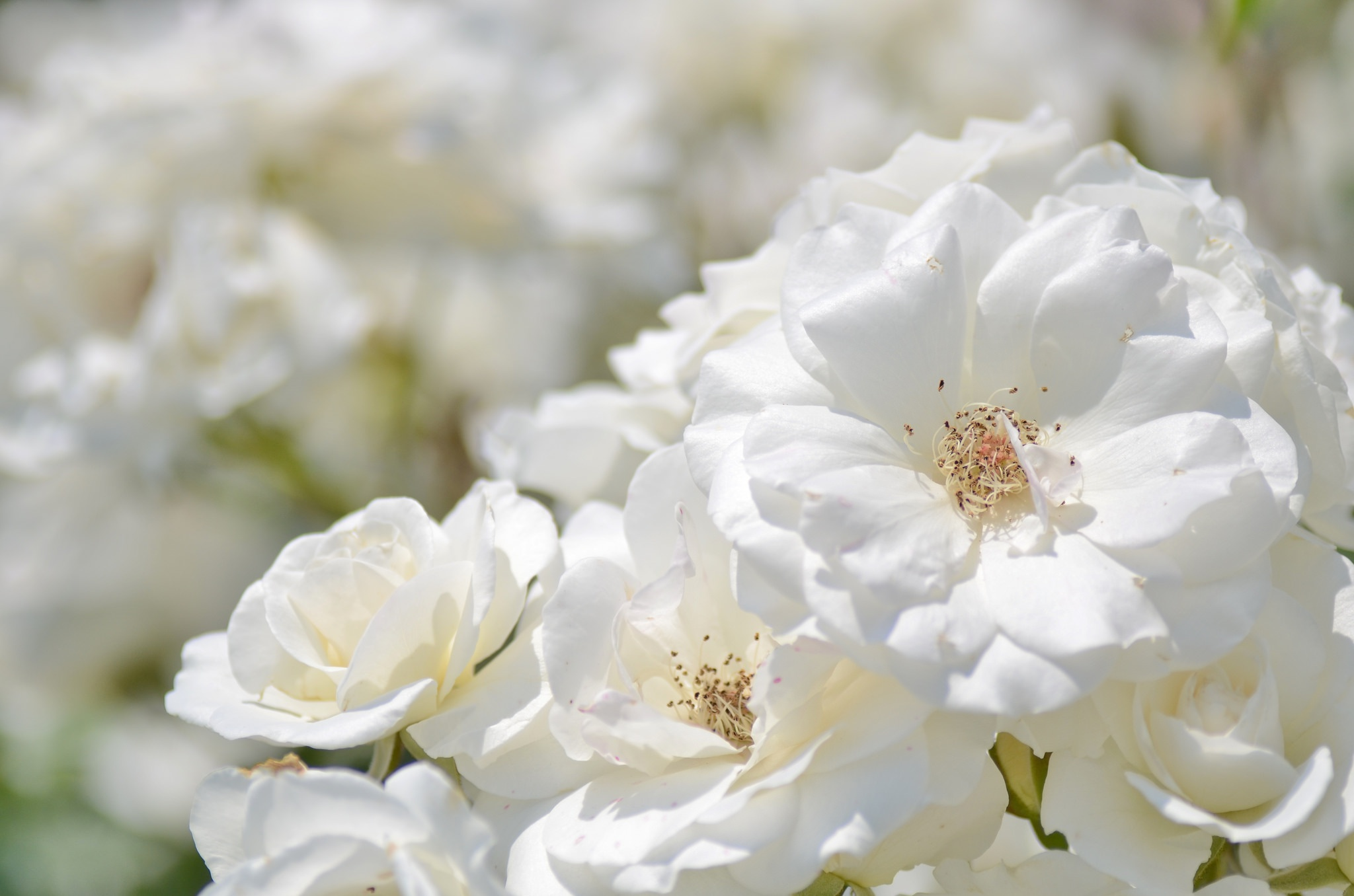 следователи картинки белых роз с лепестками роз они непременно