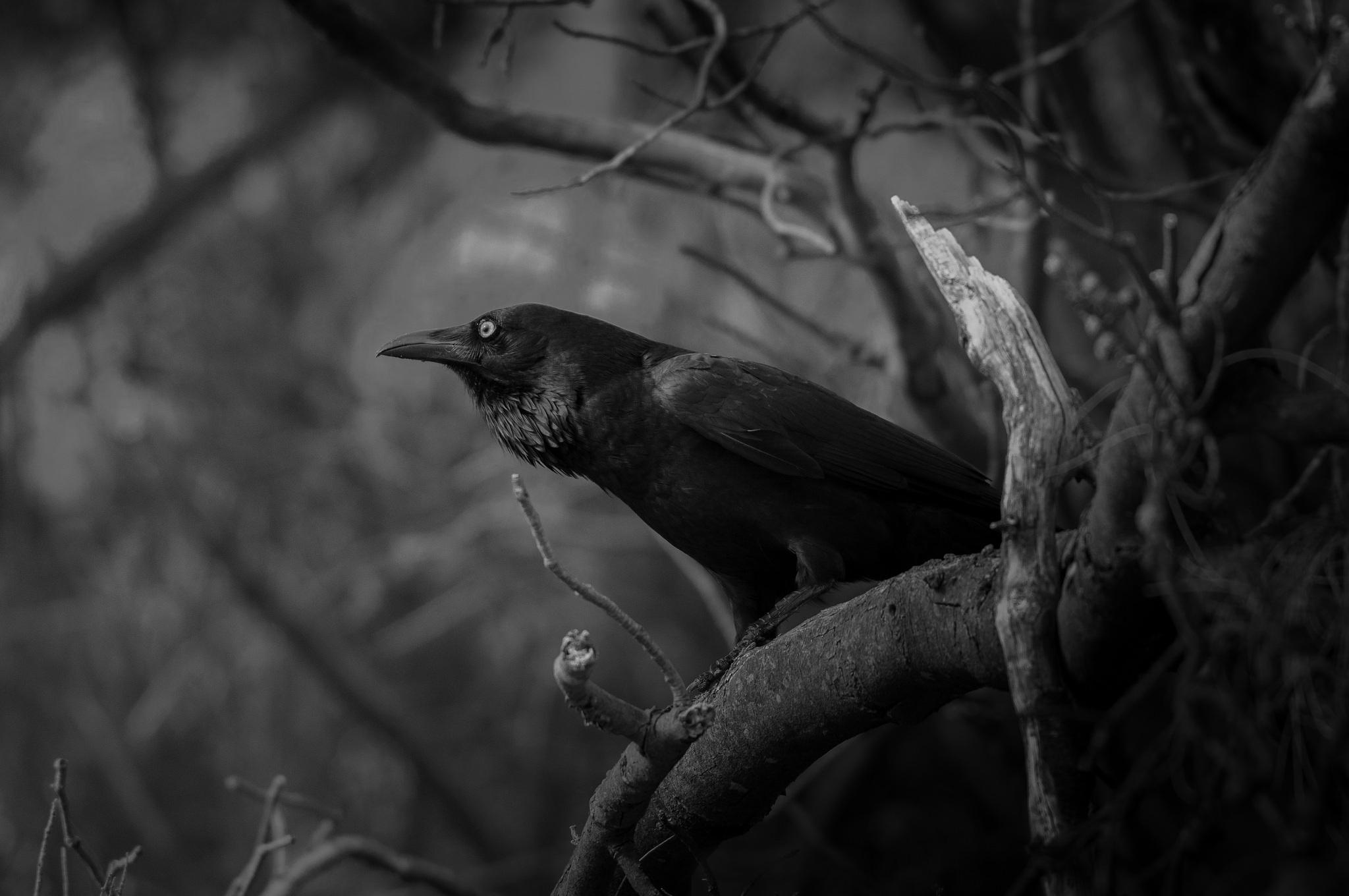 хвост, картинки черного ворона черно белые знать, что