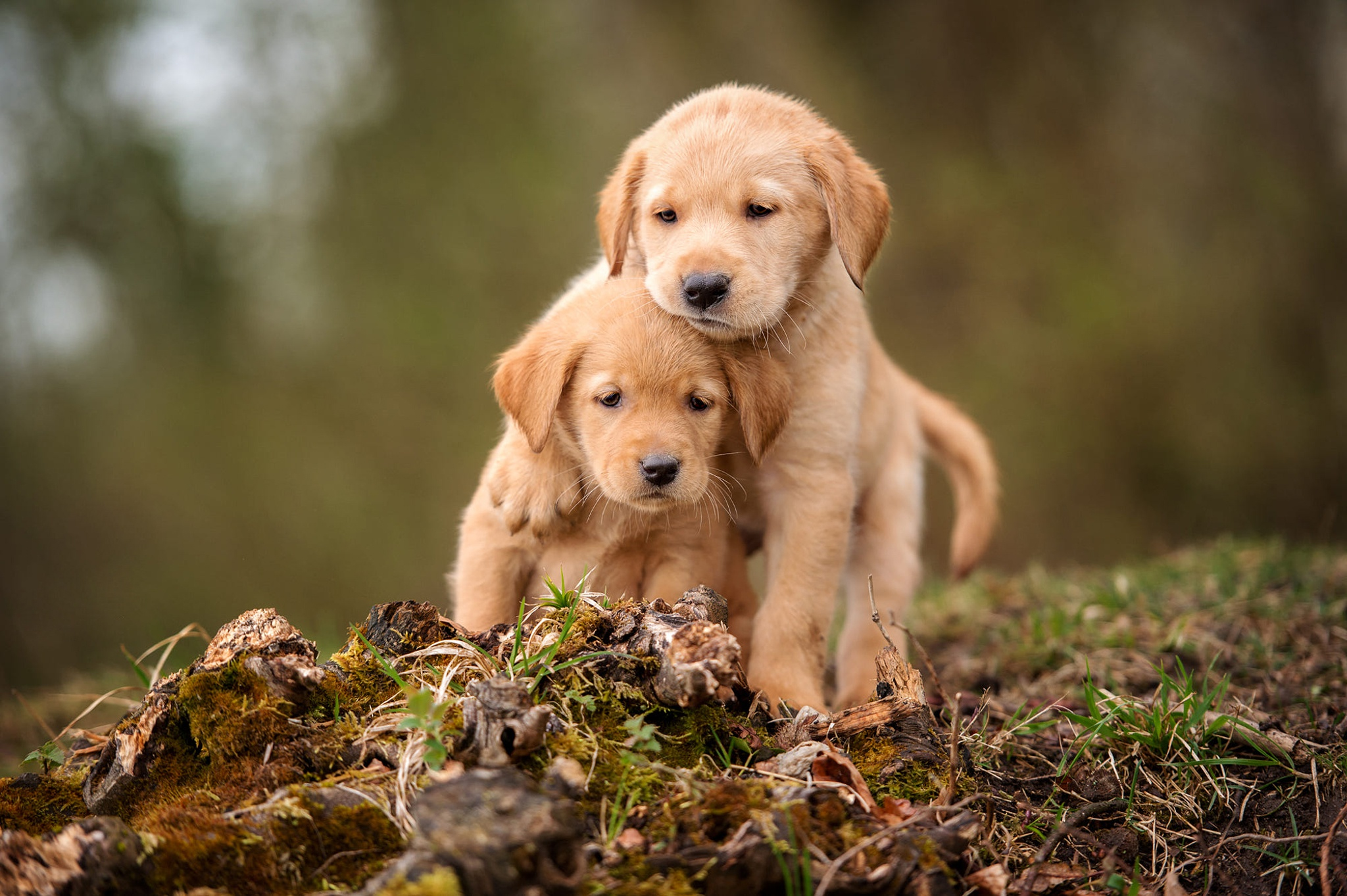 pictures of puppies - HD