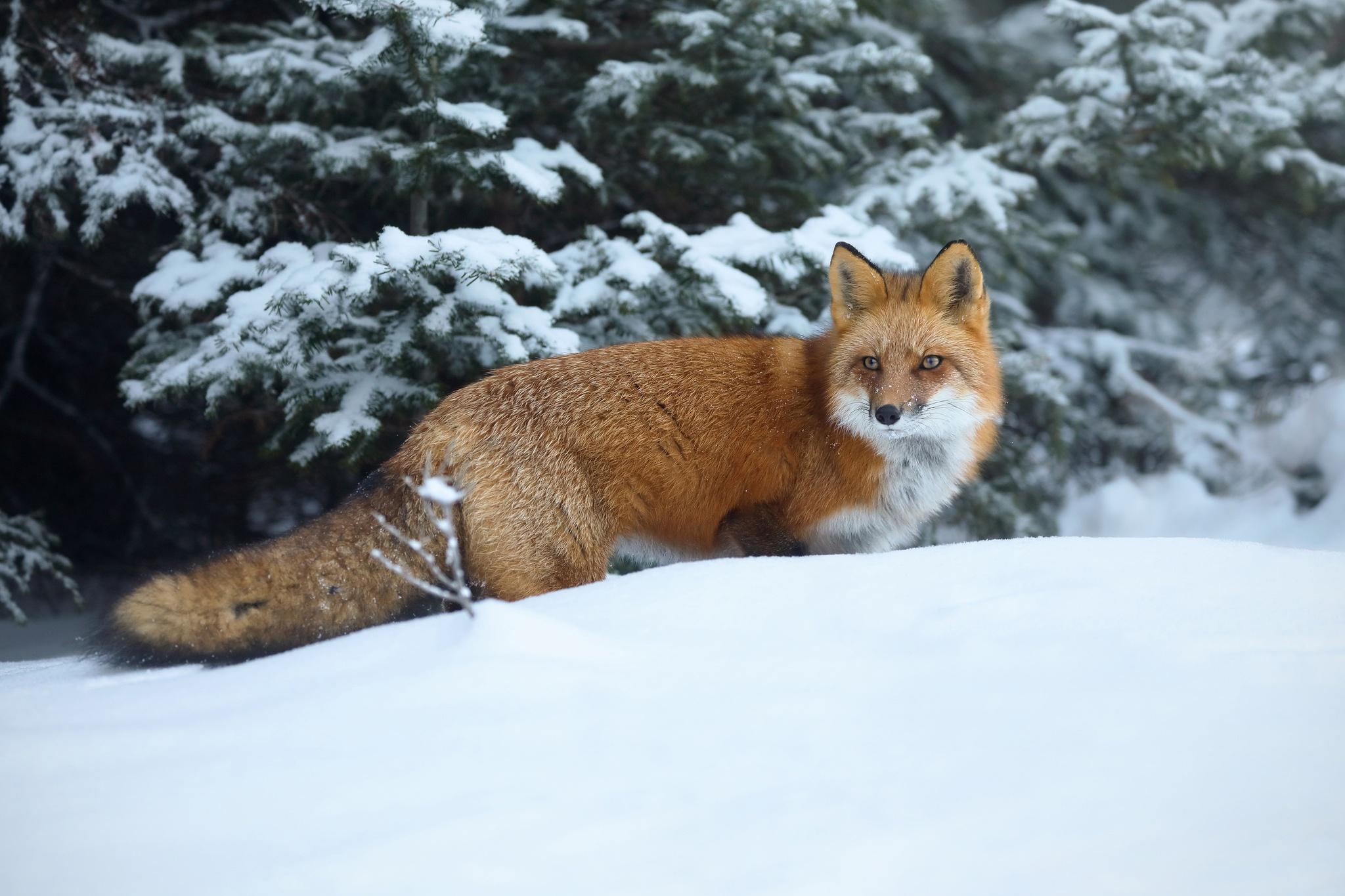 Картинки лисица на снегу