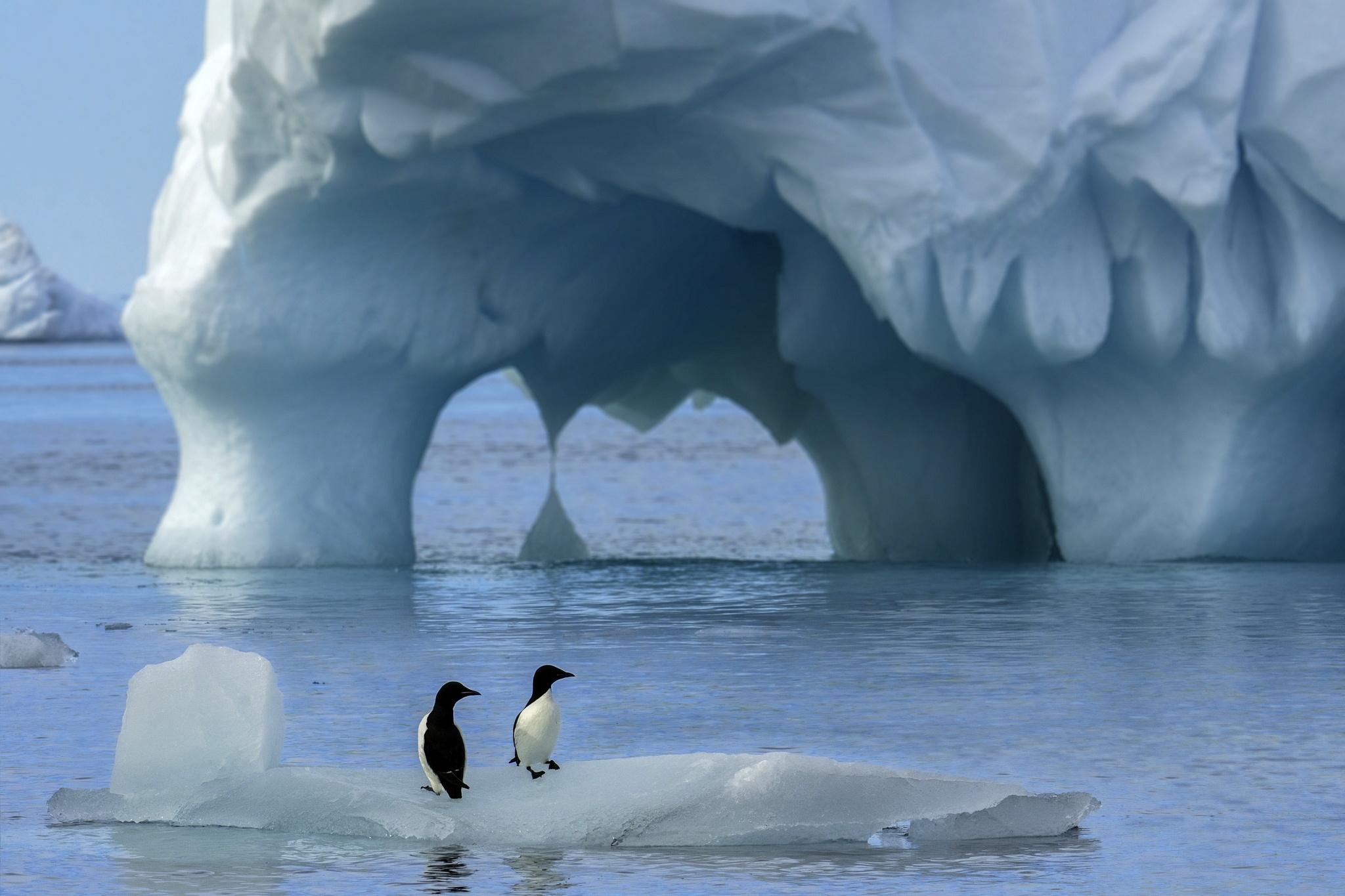 обои на рабочий стол пингвины на льдине это удивительно, ведь