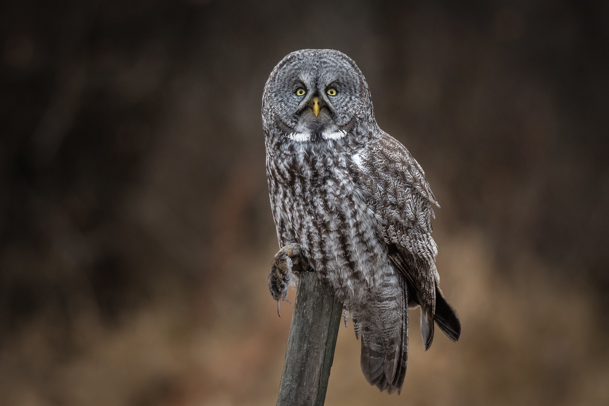 great gray owl facts - HD2048×1365