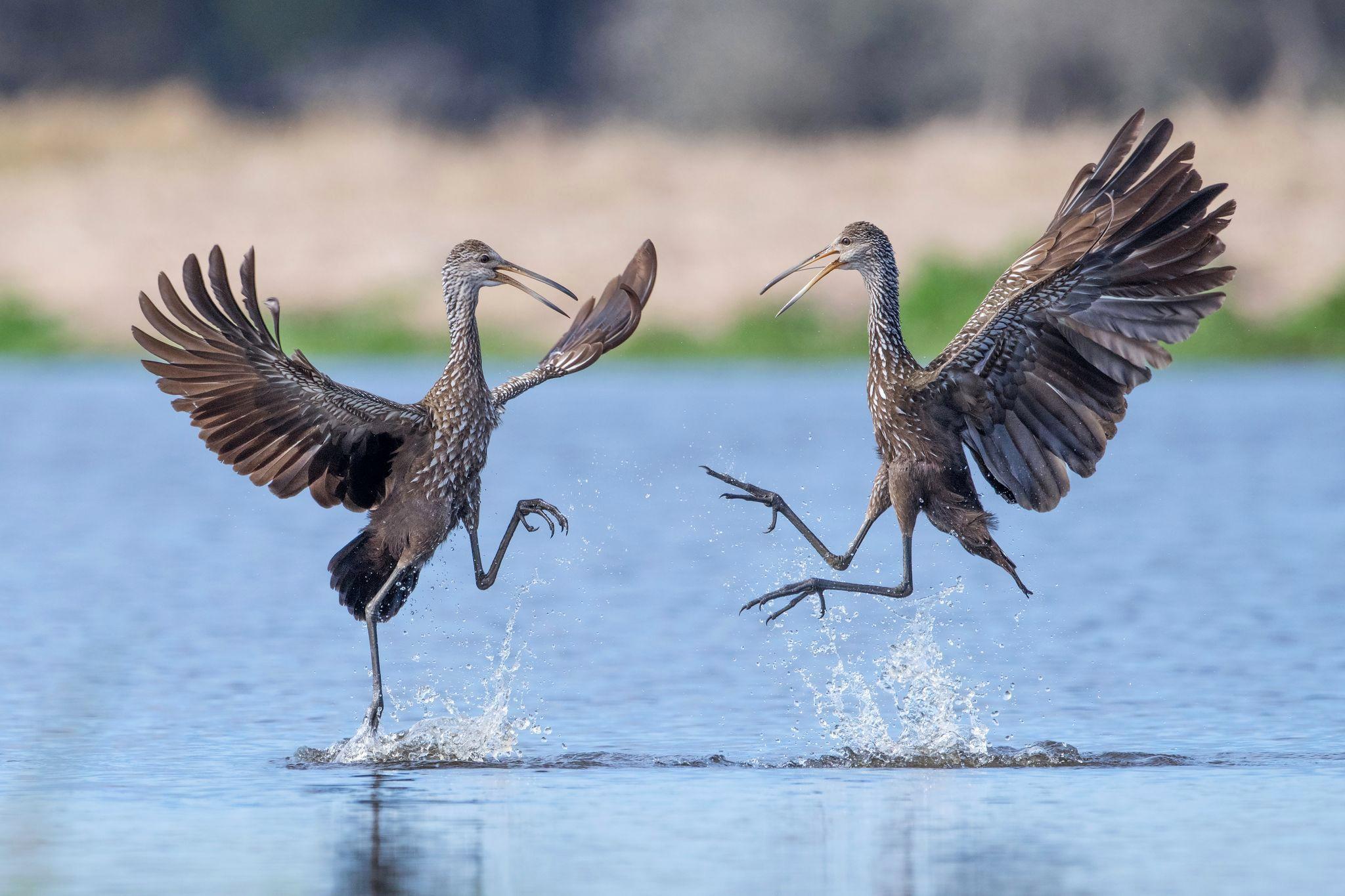 танцующие птицы фото нравится затея