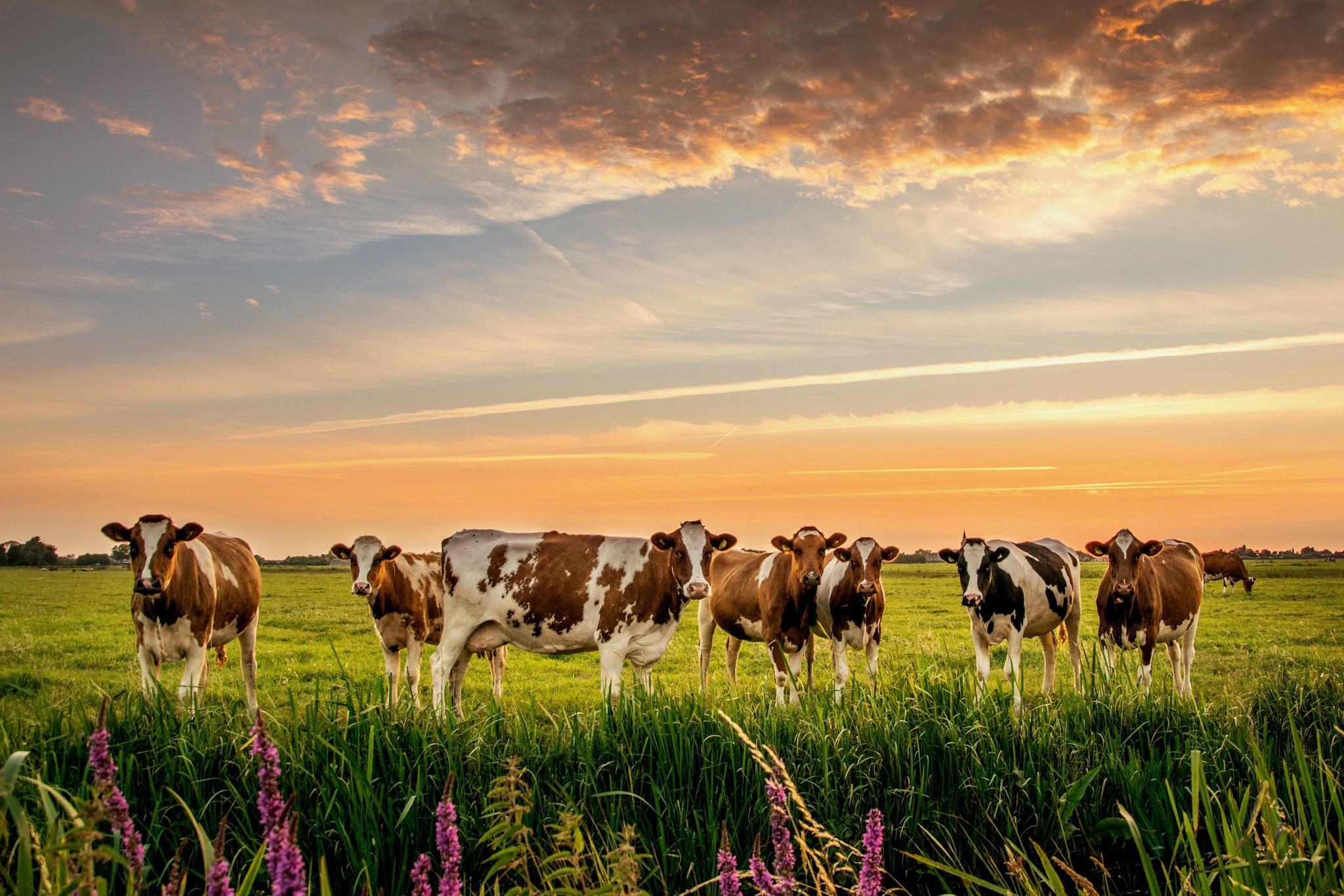 картинки коровы и лошади на лугу так как сайт