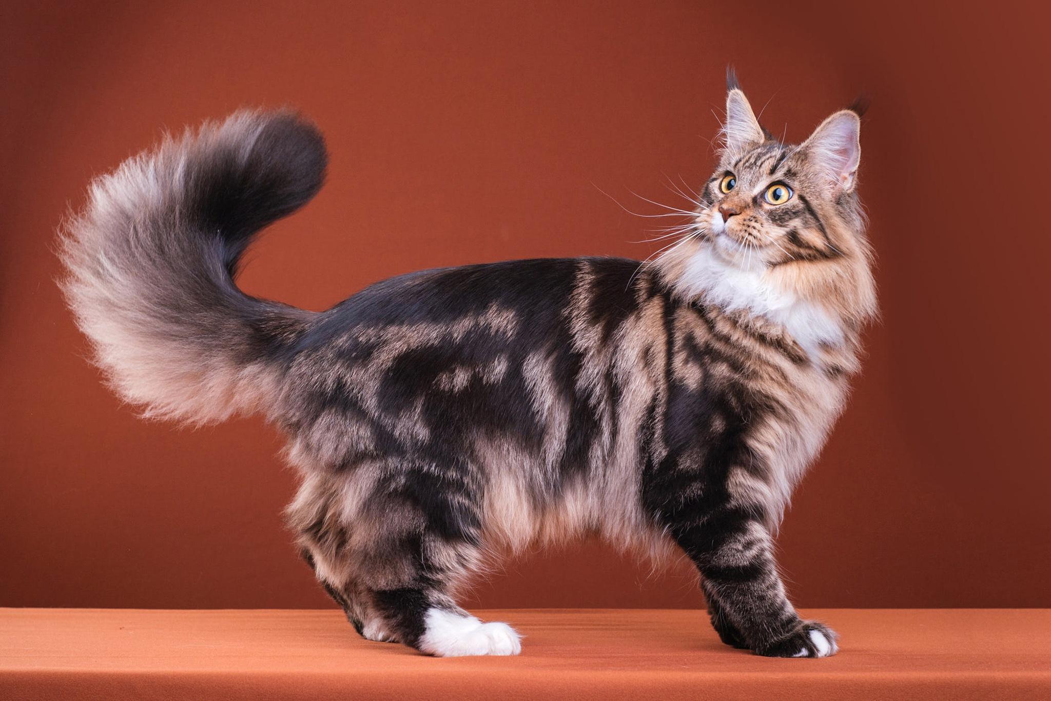 теперь пушистый хвост кота картинка большим пальцем правой