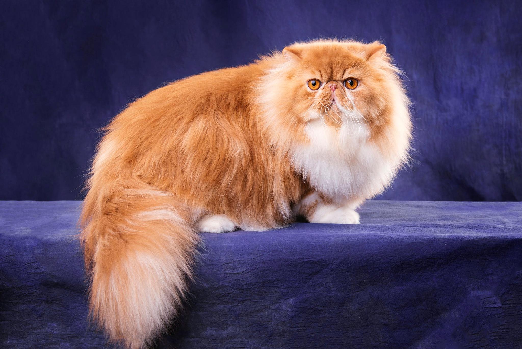 картинки кошек породистых пушистых выберете