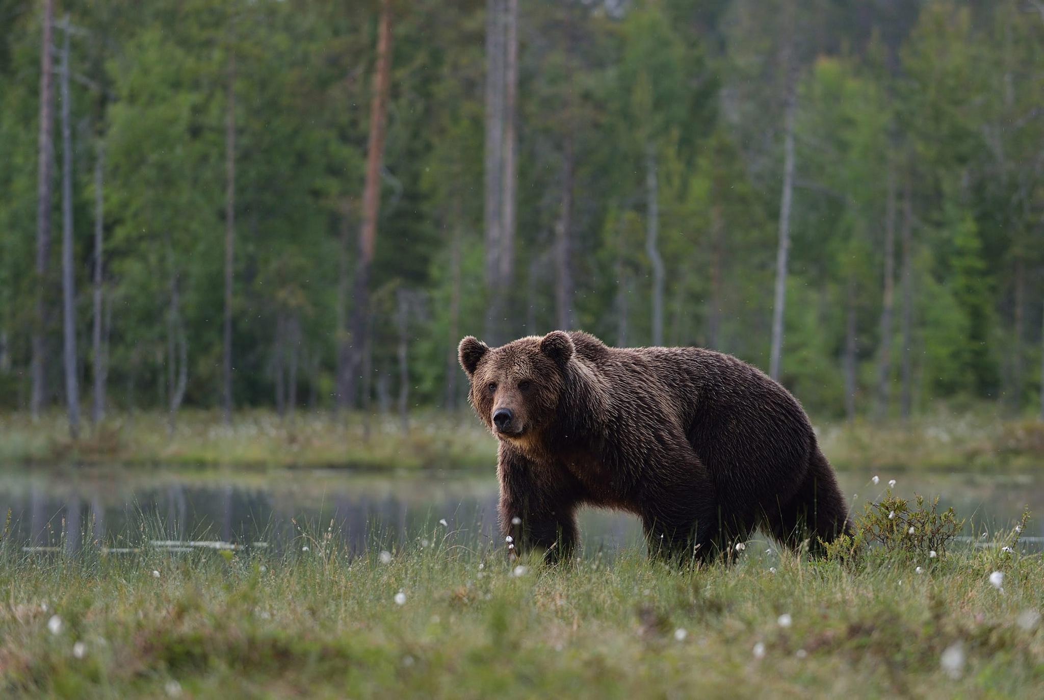 теней, идущий медведь фото цокольном этаже