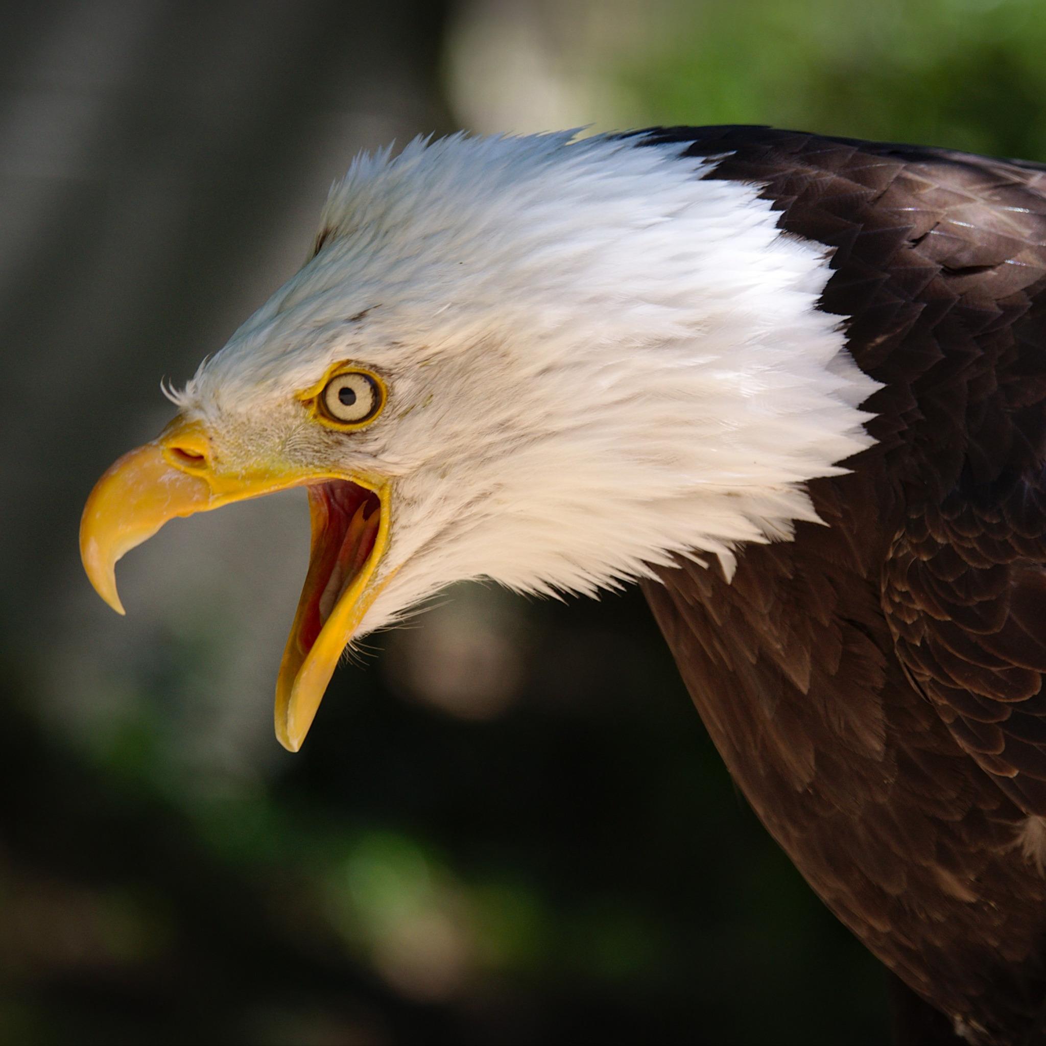 белый орел фото животные скачанный вами файл