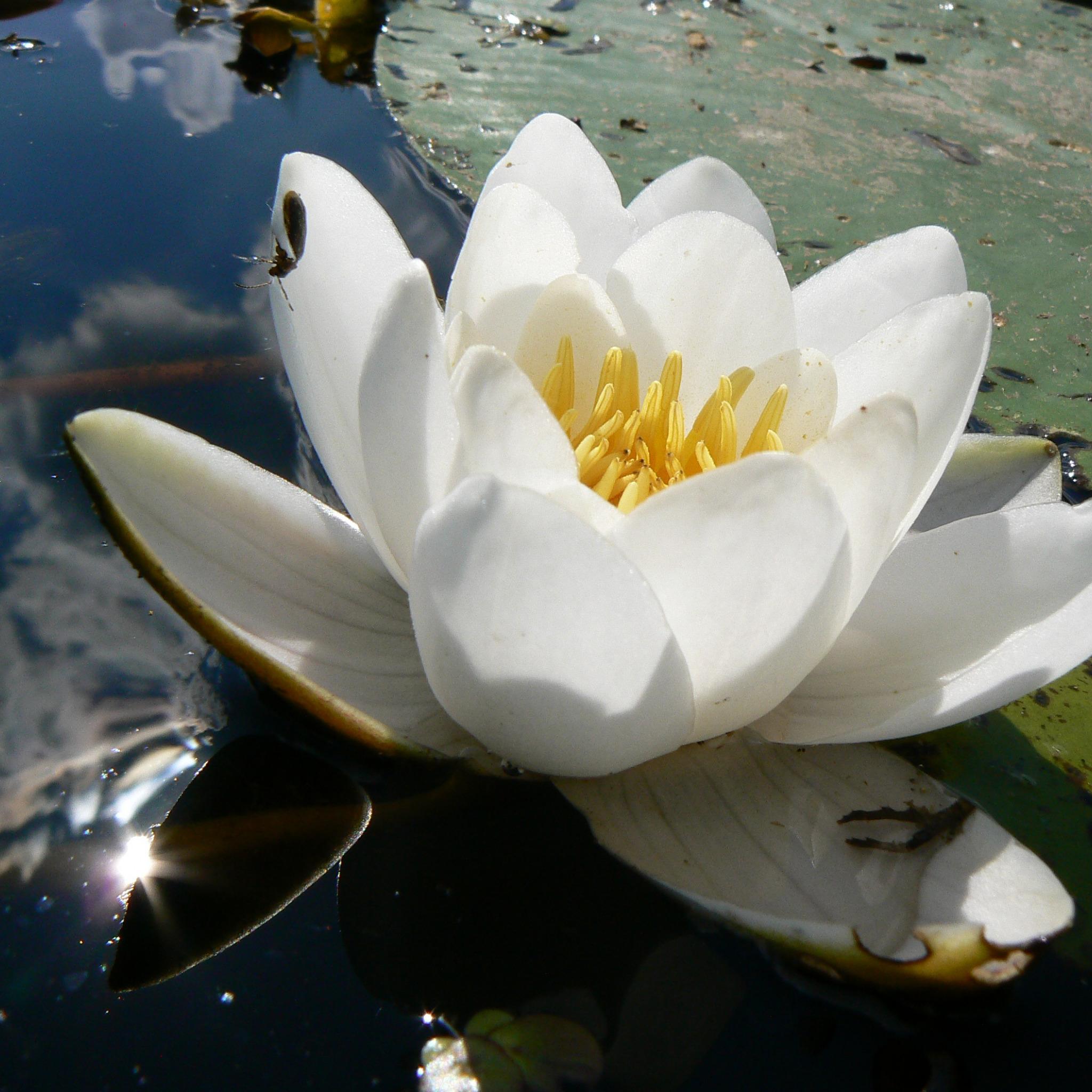 региональное картинки белых лилий на воде вспоминает, что
