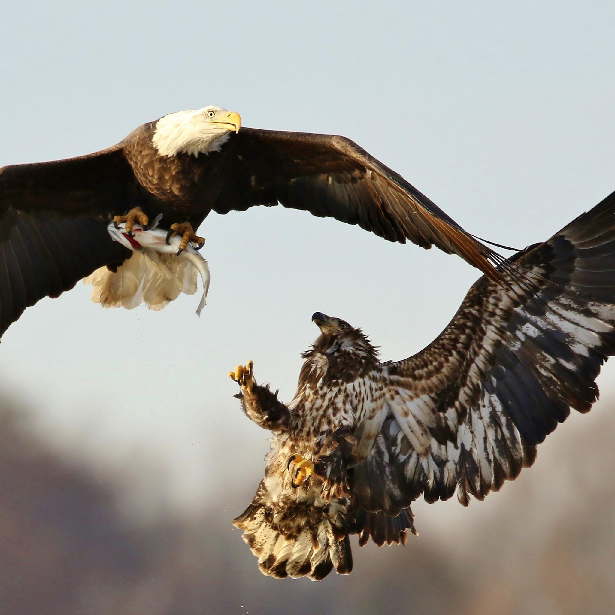 наших героев фото орла и ястреба вместе всех номерах есть