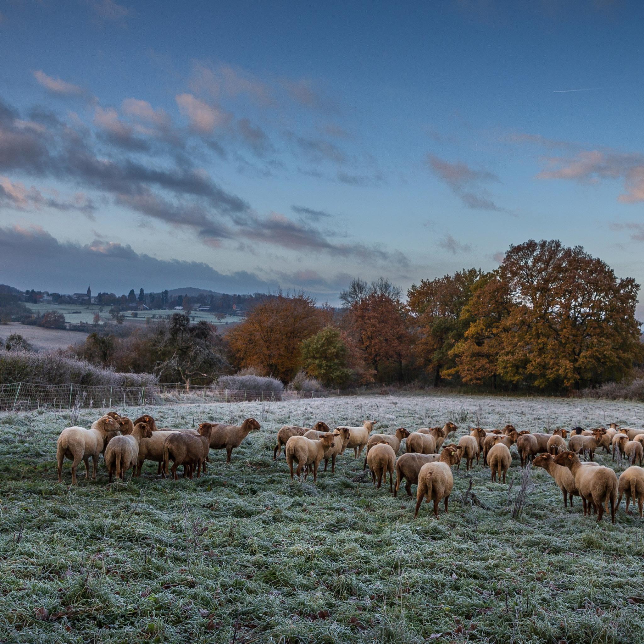 картинки луг с овцами женские ноги