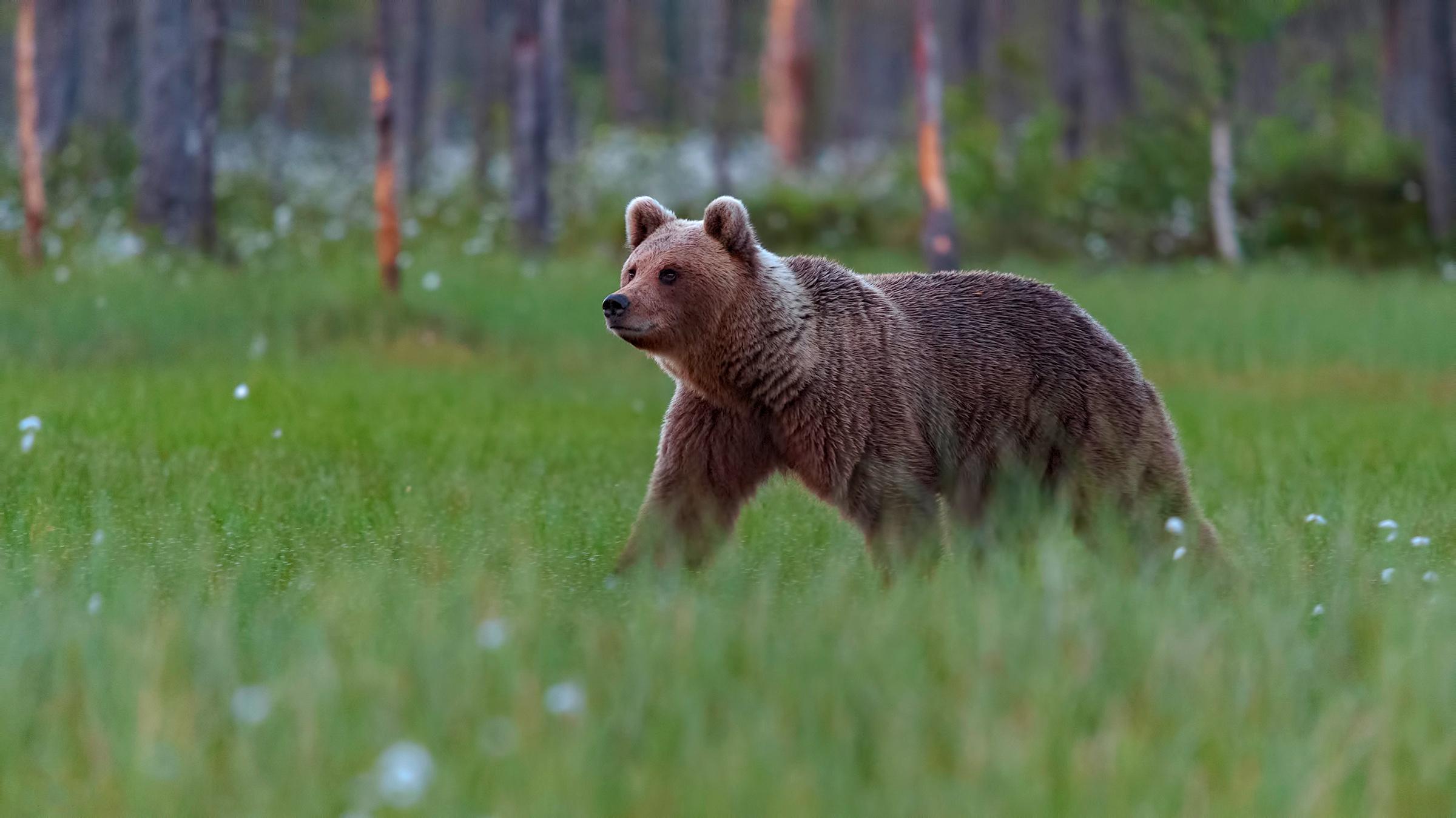 выражаем идущий медведь фото сказать это требования