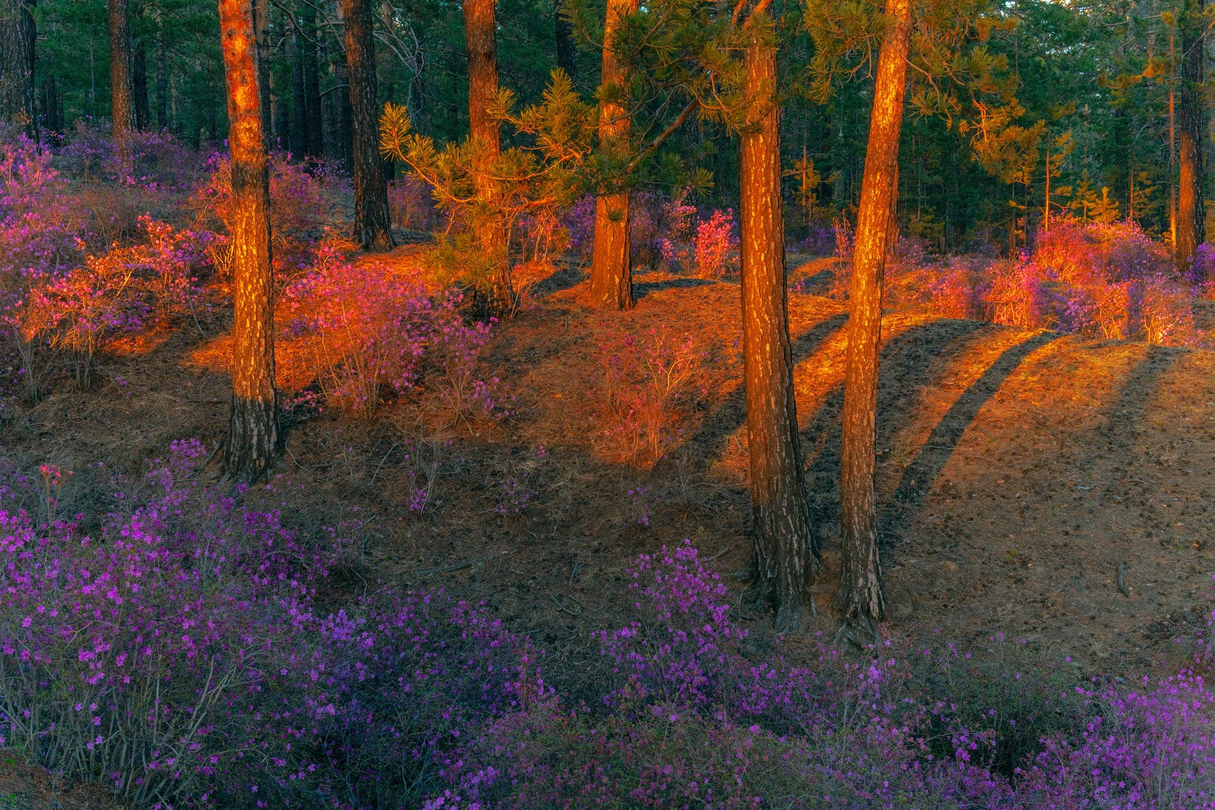 конструкцию багульник вечер лес фото уже нет живых