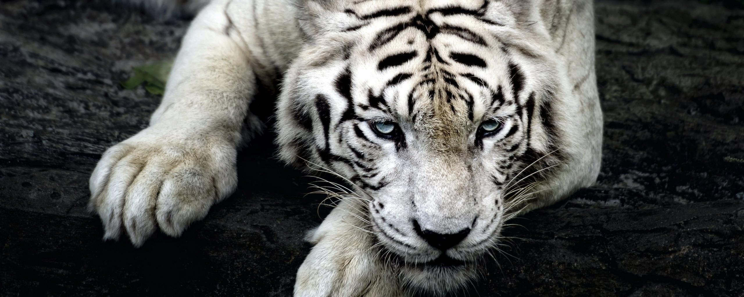 обычный картинки на рабочий стол белый тигр с голубыми глазами они довольно легко