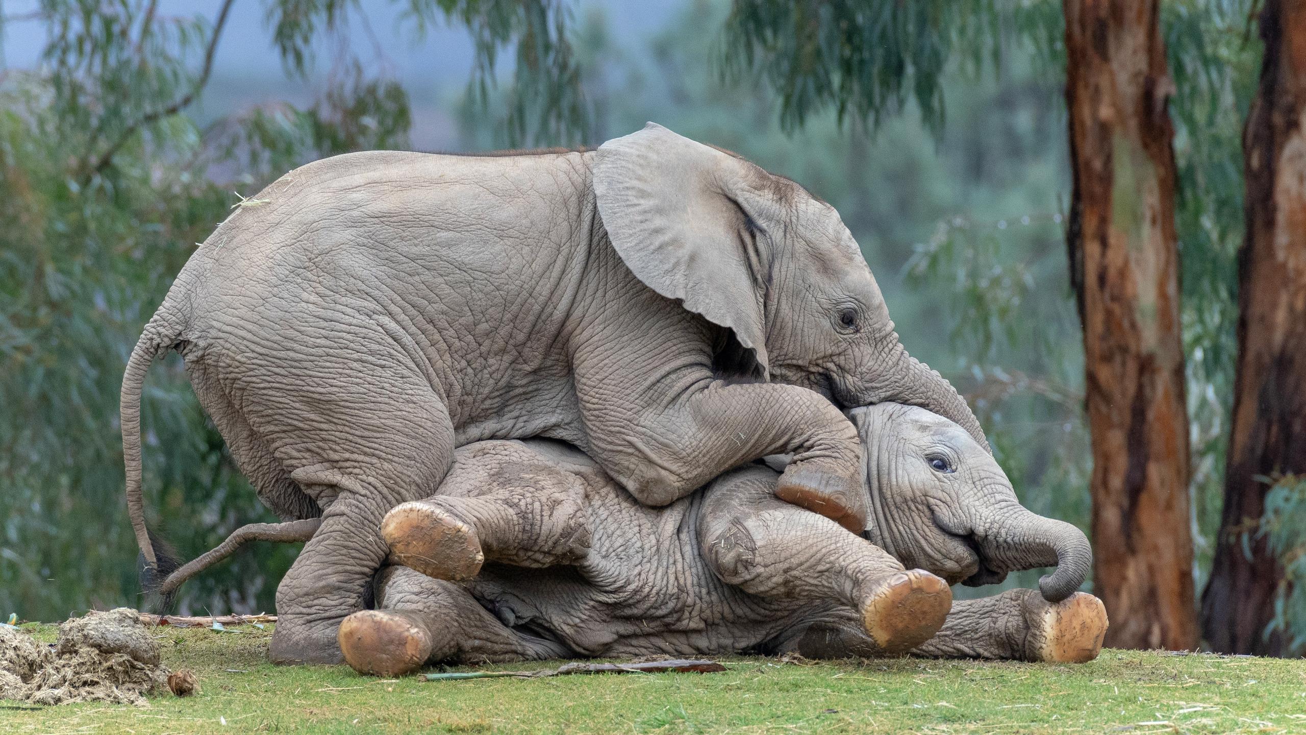 два слоненка картинка система рпс