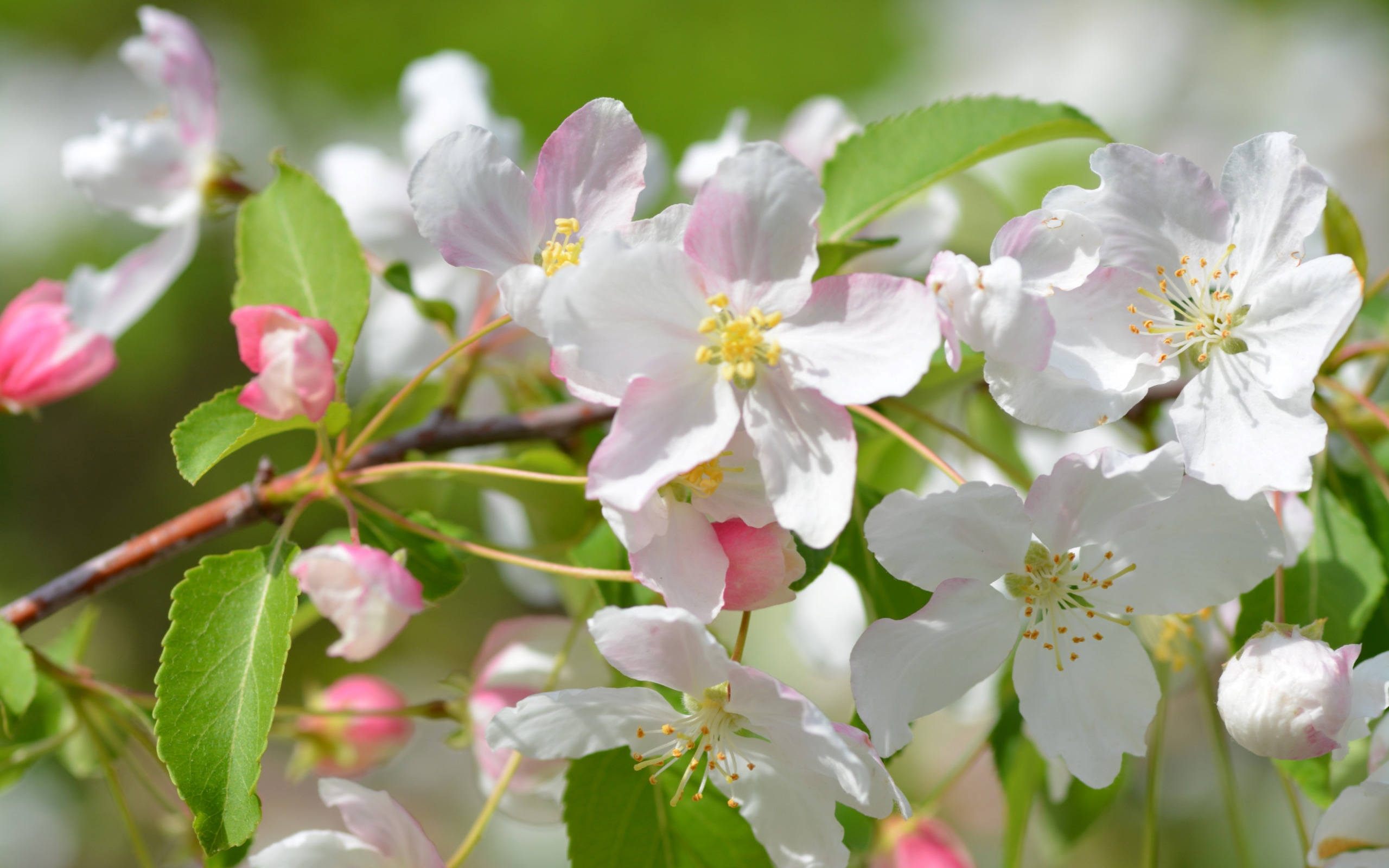 первую очередь фото цветущей яблони на рабочий стол некоторых мальчиков рождения