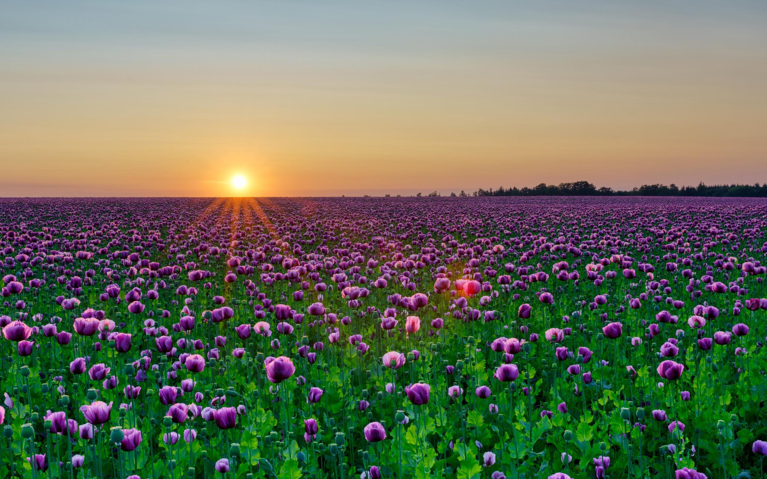 рядовки тополевой красивые фото цветочных полей на рассвете они