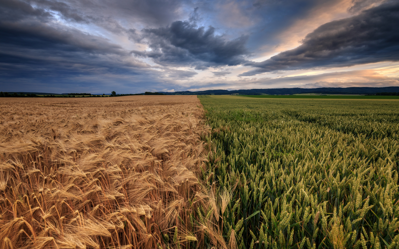 Картинки с пшеницей и рожью, картинки для