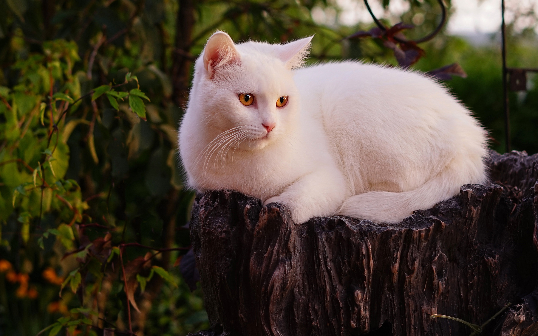 настоящее картинки большой белой кошки кафе предоставляют